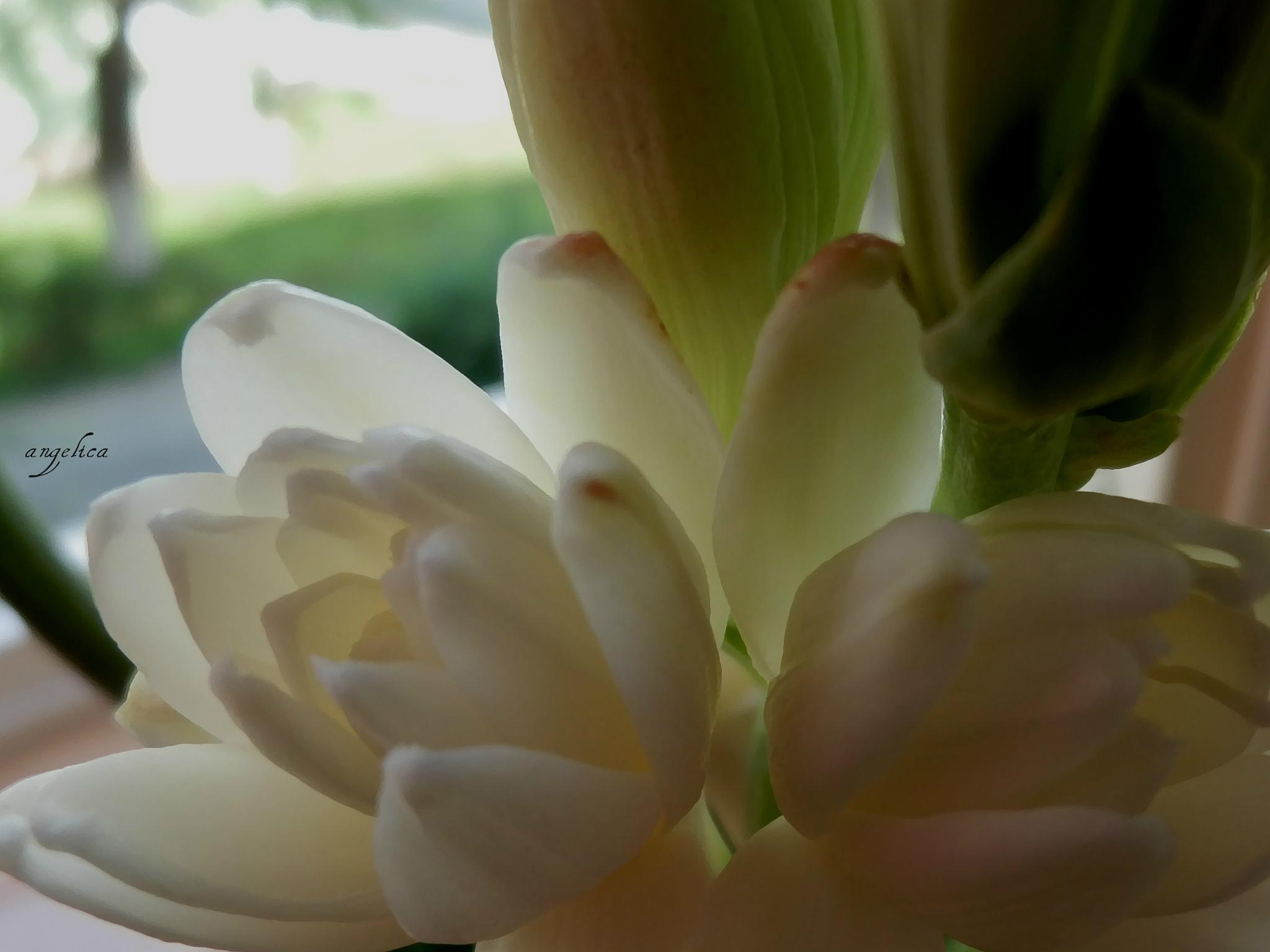 Tuberose- exotic flower with a wonderful scent.. by Angelica