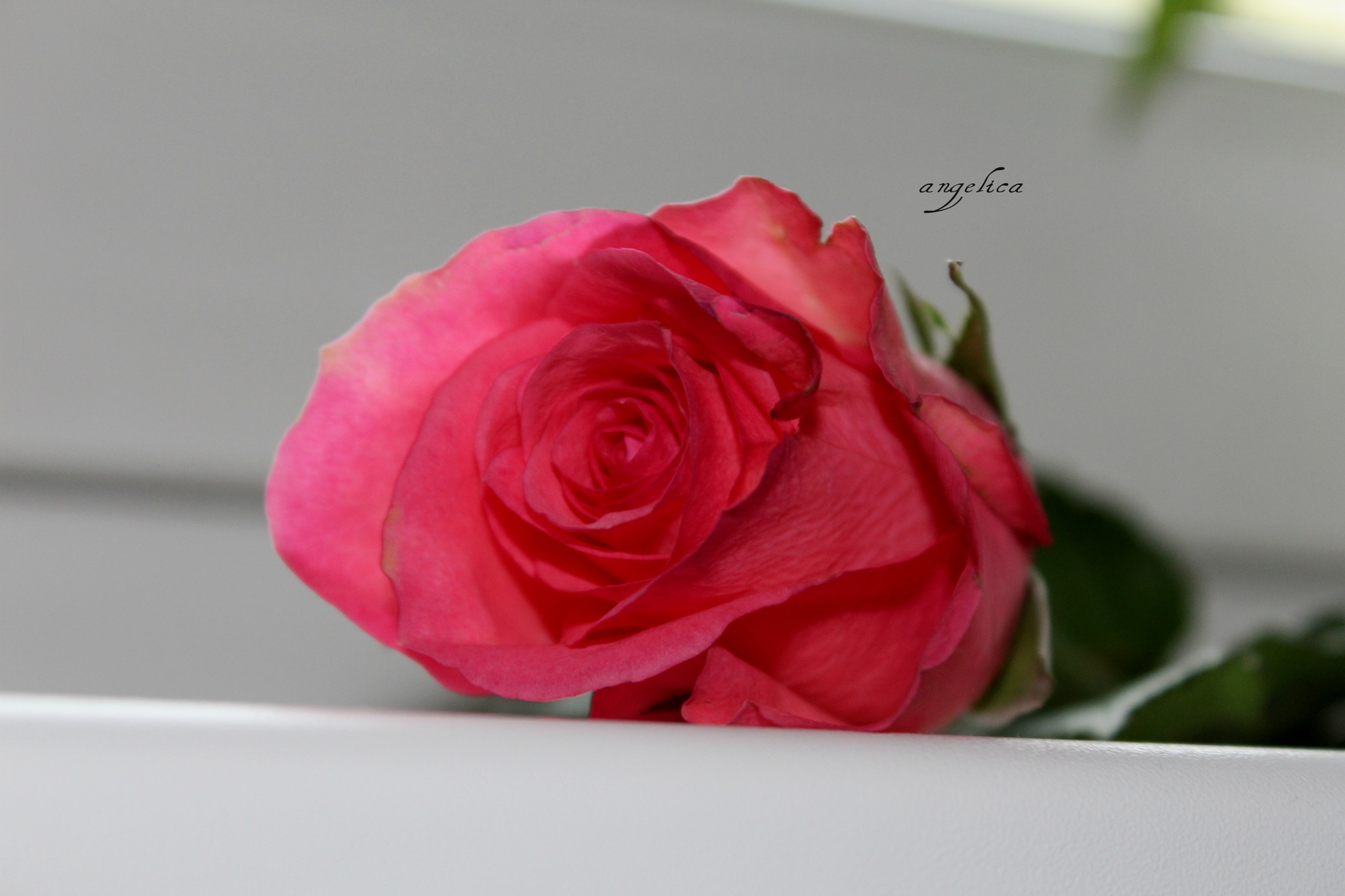 Just a rose.. by Angelica