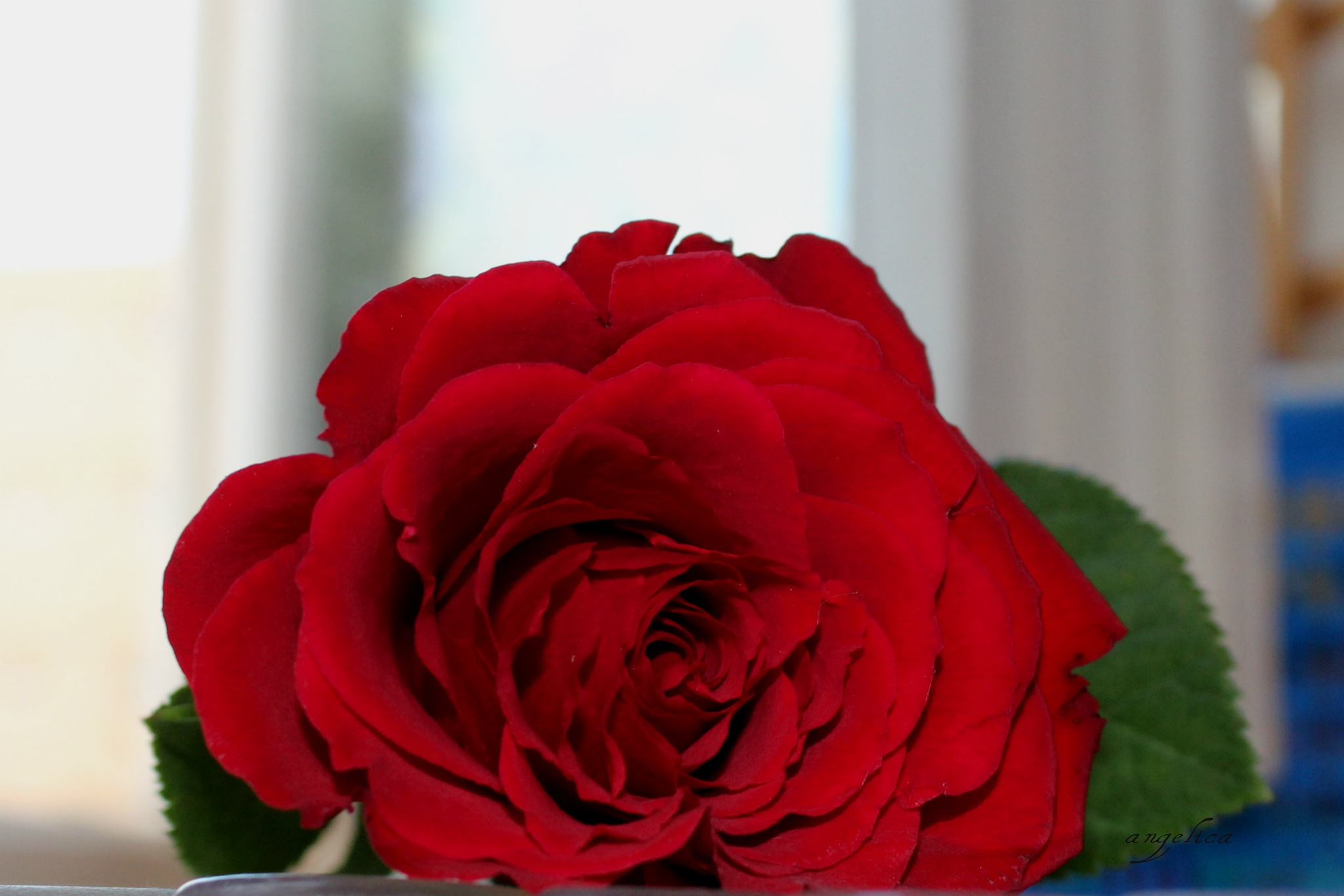 A rose.. by Angelica