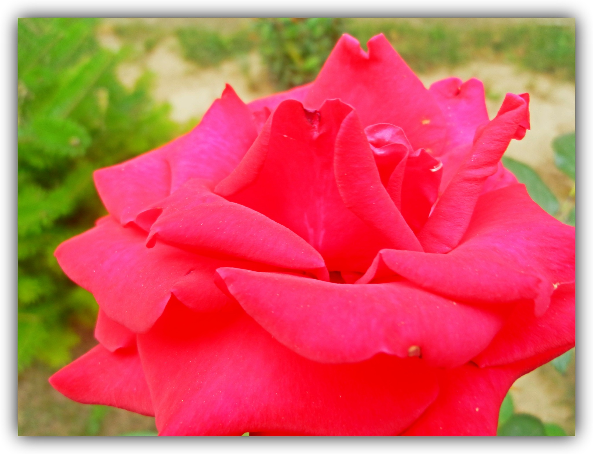 Framed rose.. by Angelica