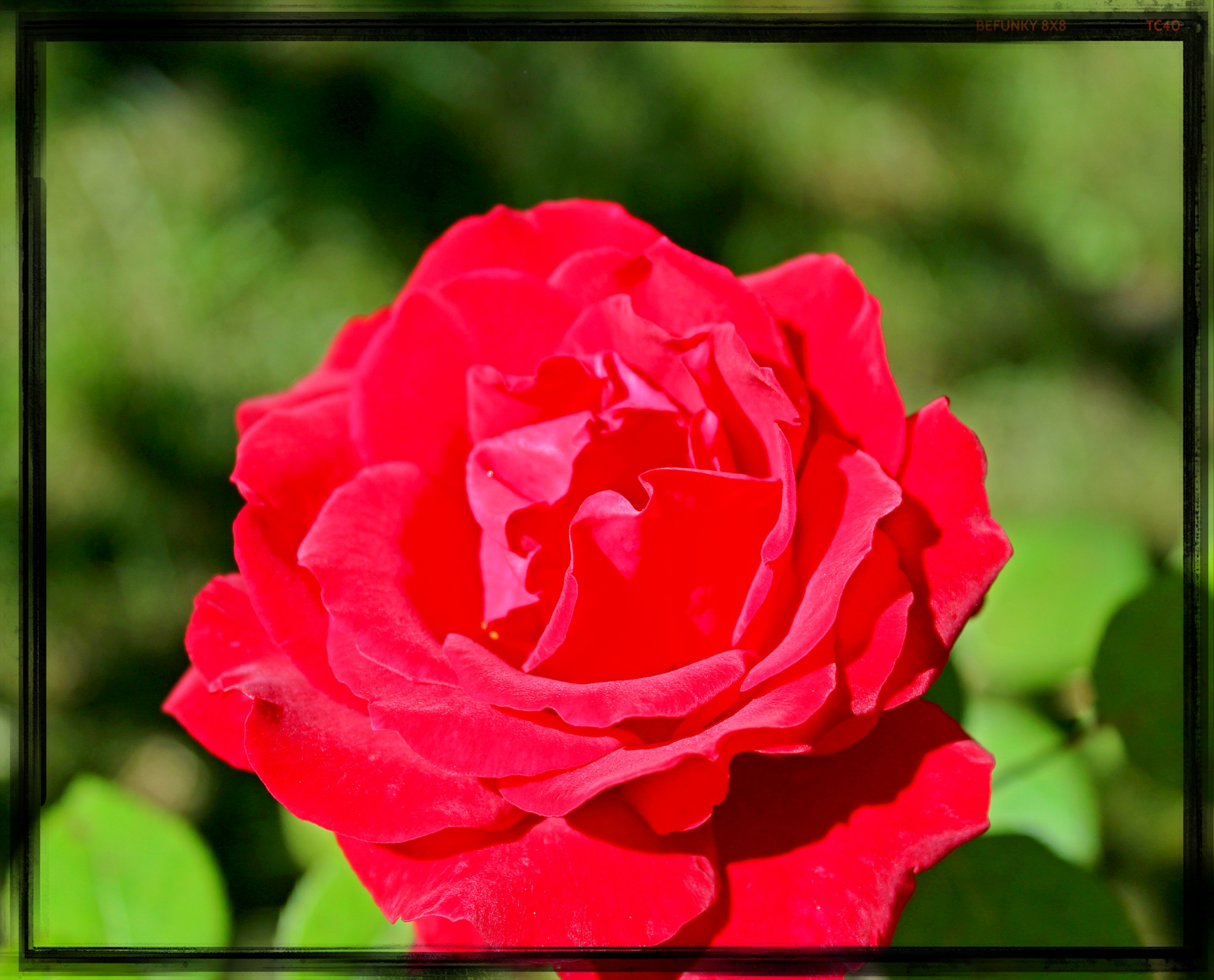 Red rose.. by Angelica