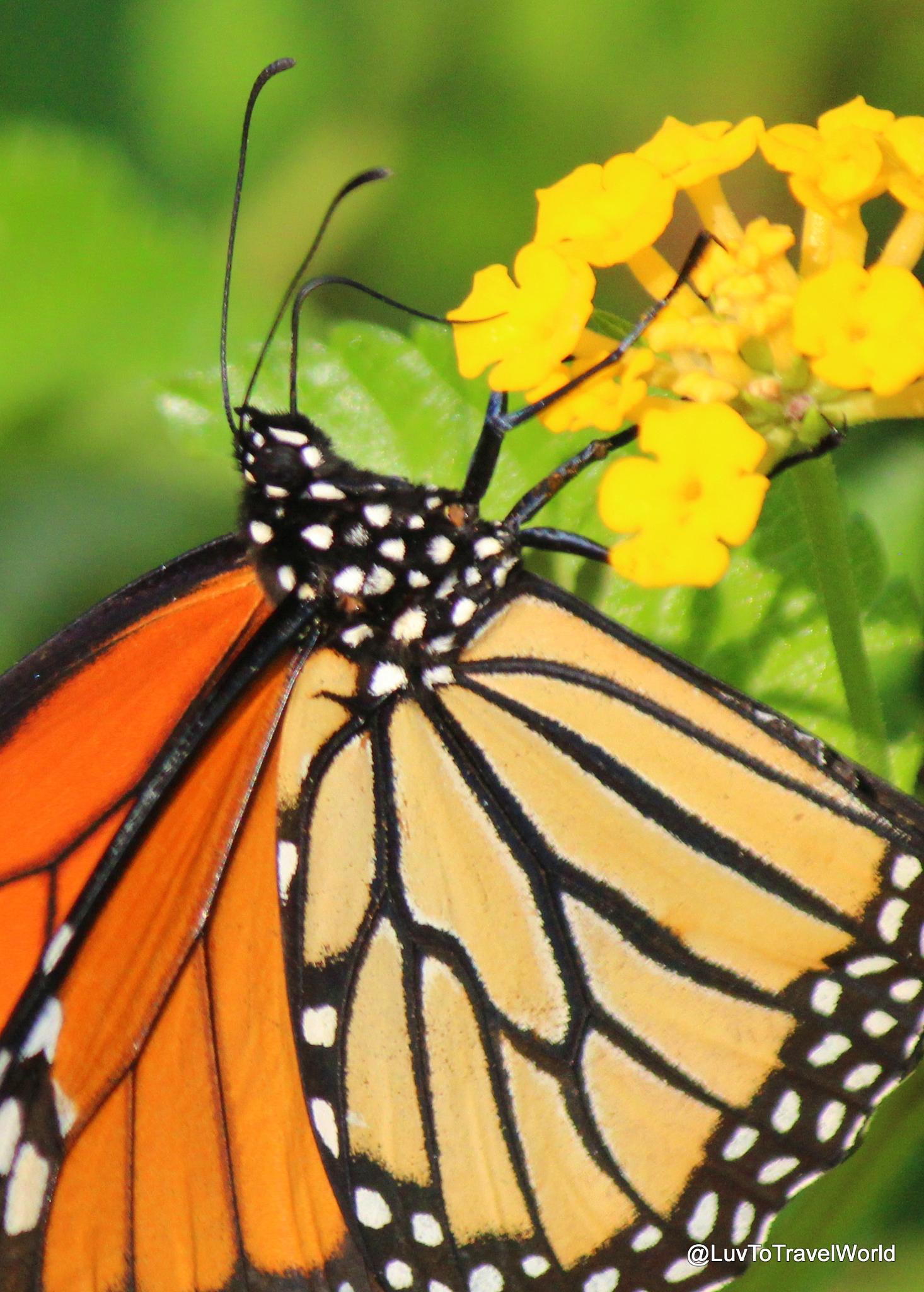 Monarch by #LuvToTravelWorld