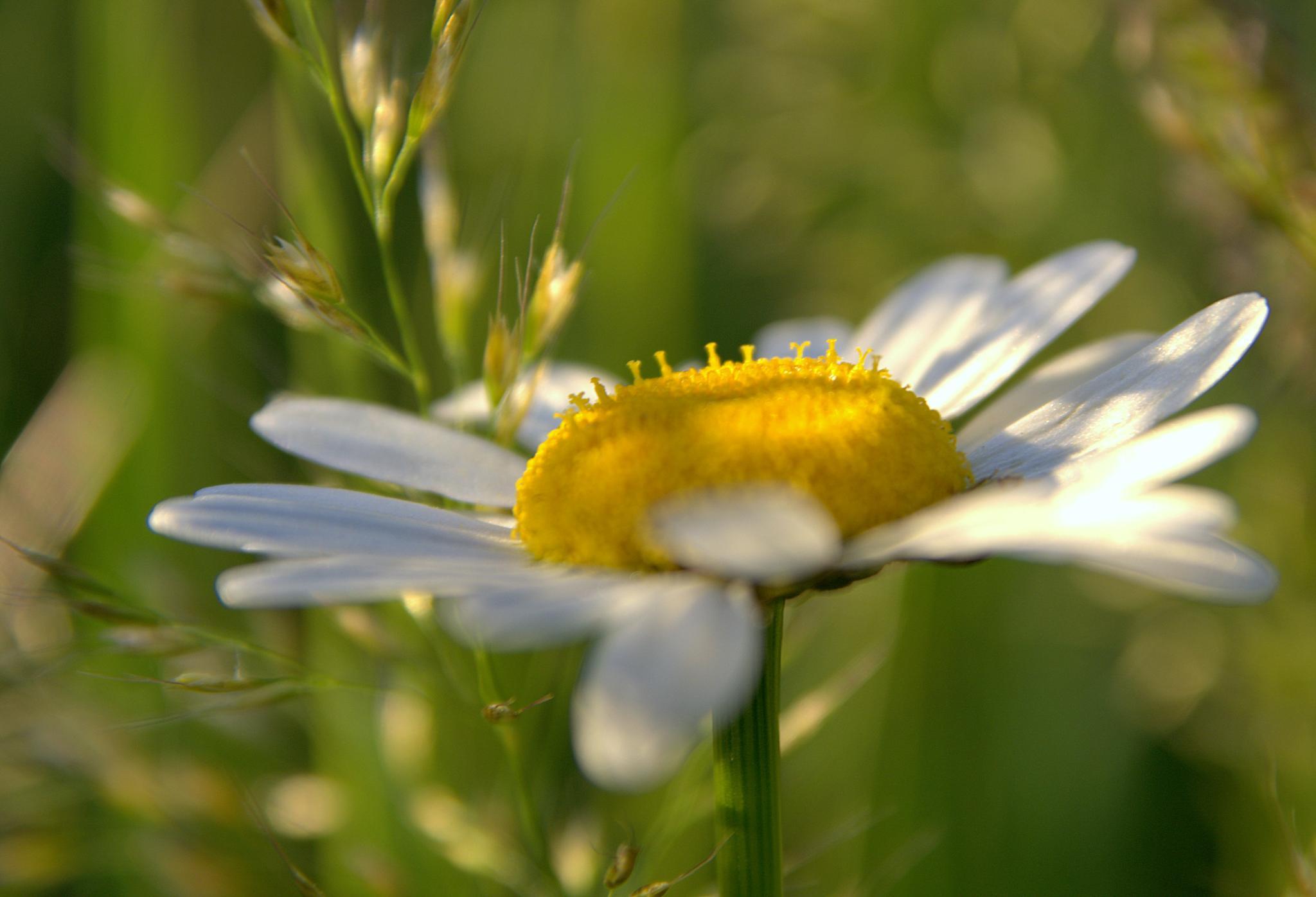 ox-eye daisy by hdotyi