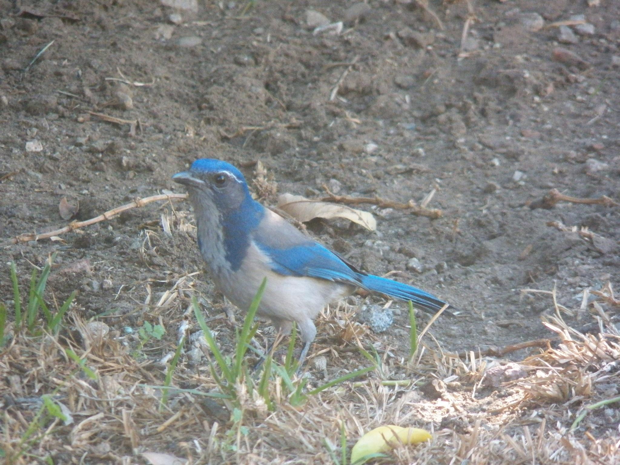 Backyard Blue Jay by Tracie
