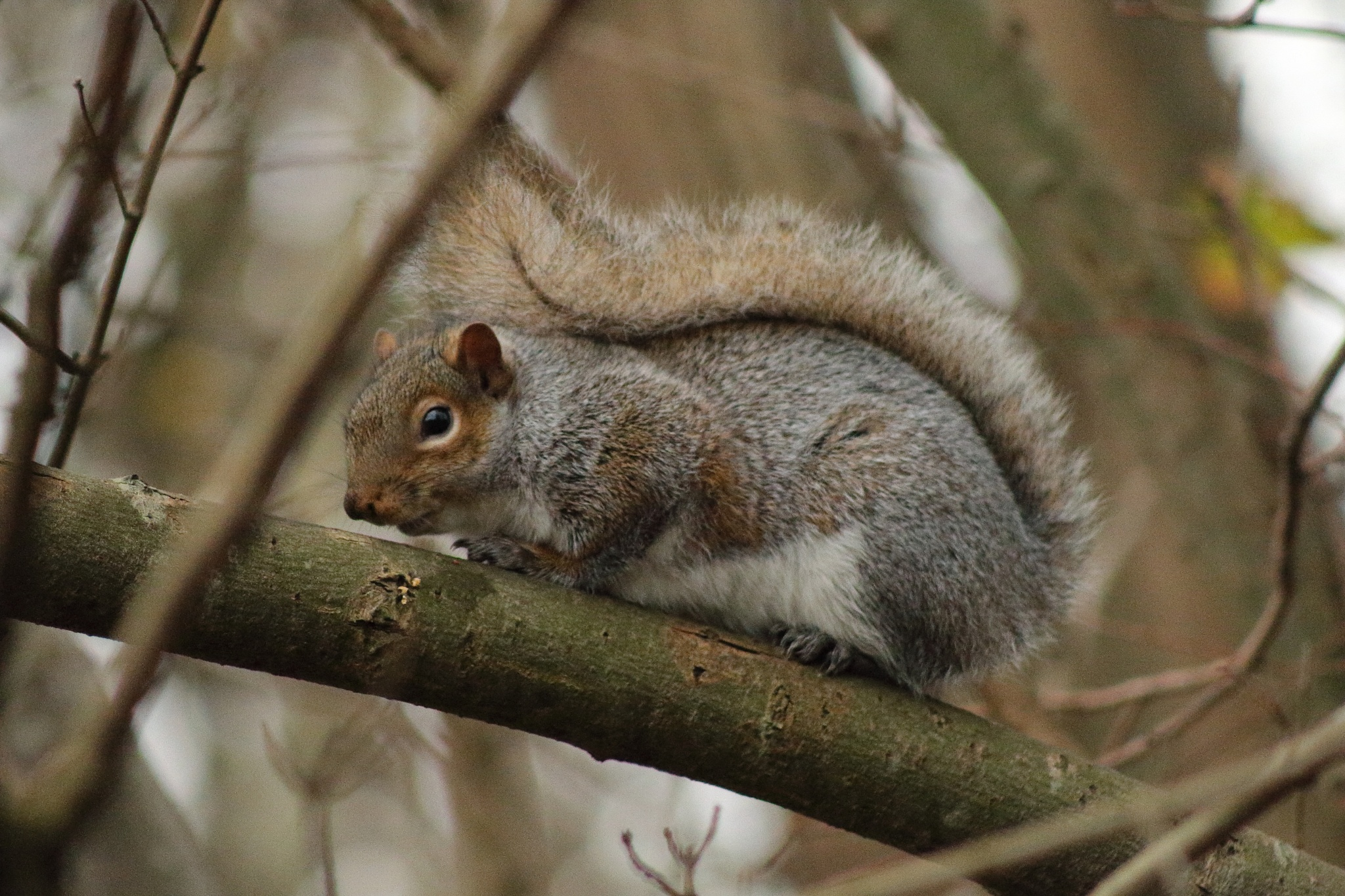 Grey Squirrel by Ken Fagan