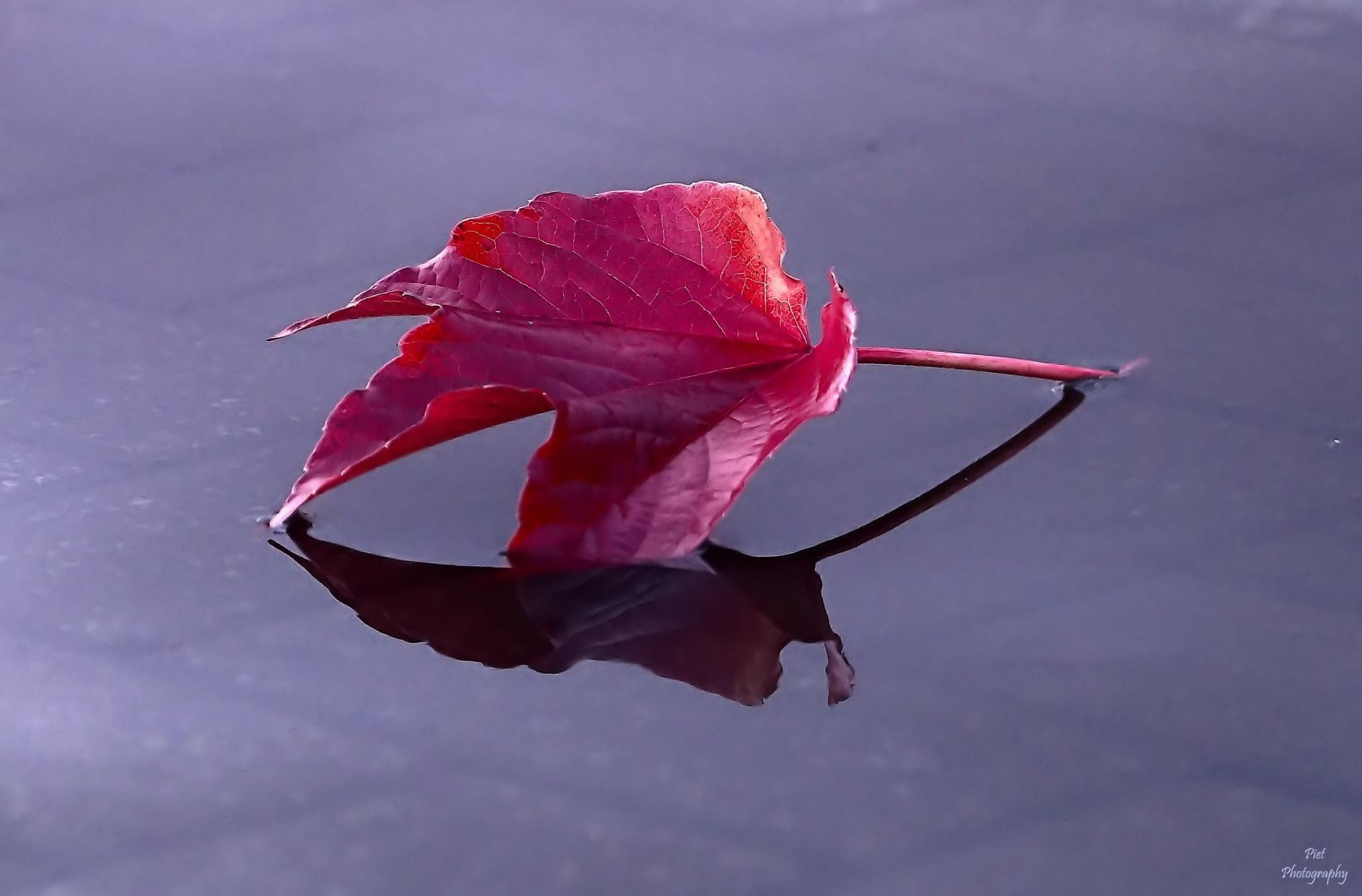 Red leaf... by PWaardenburg