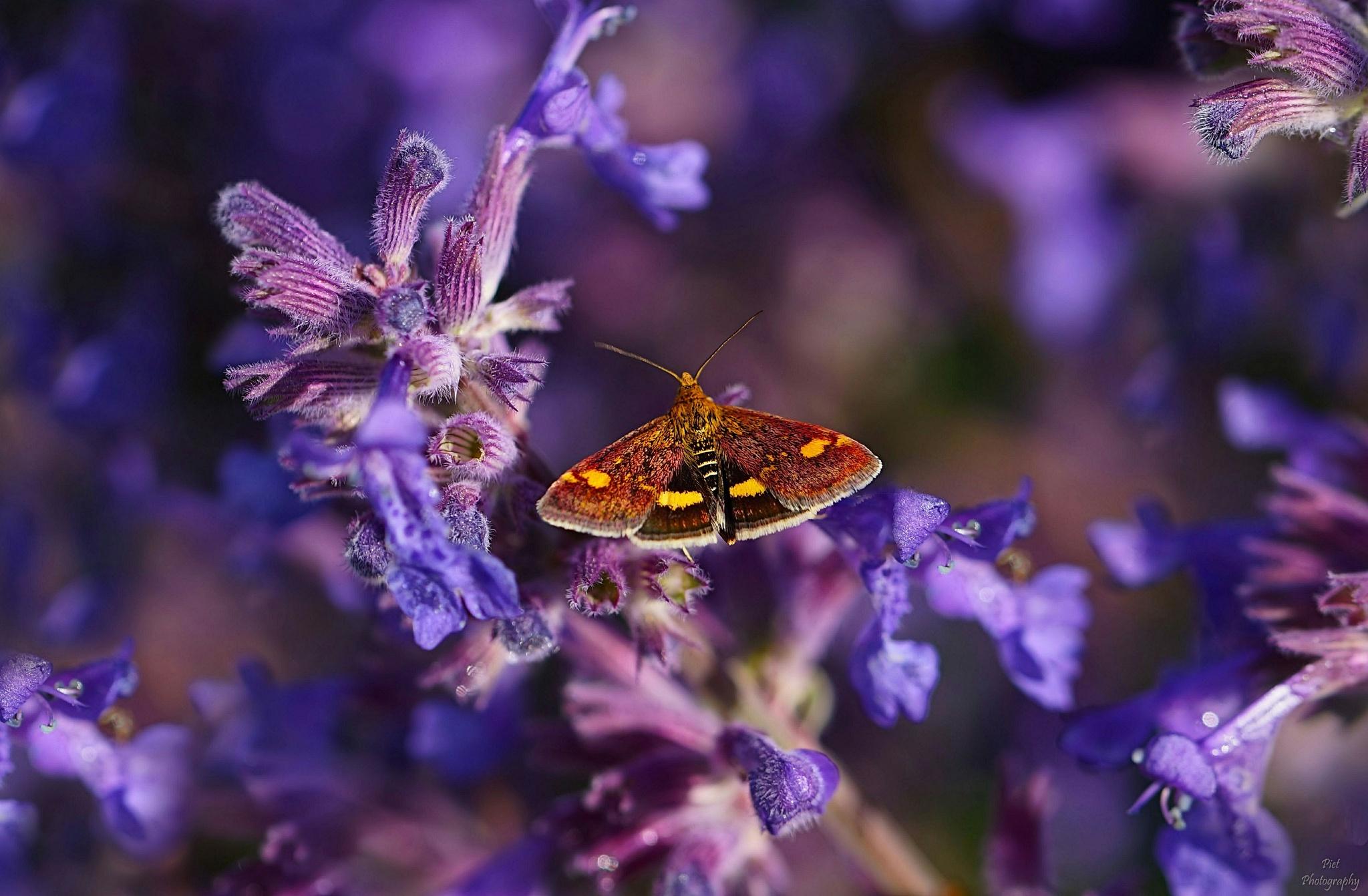 Beautiful little Butterfly.... by PWaardenburg