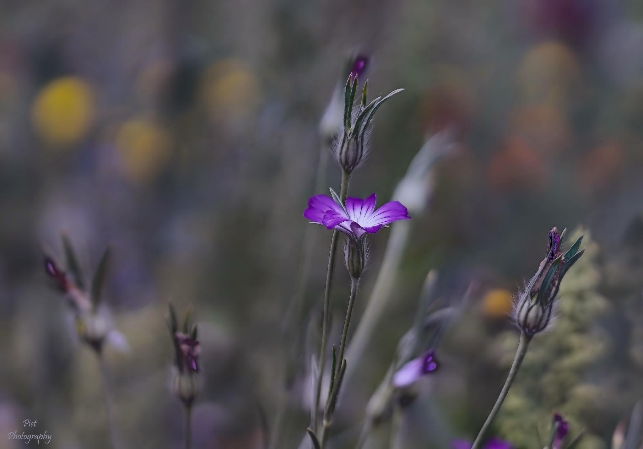 dream flower... by PWaardenburg