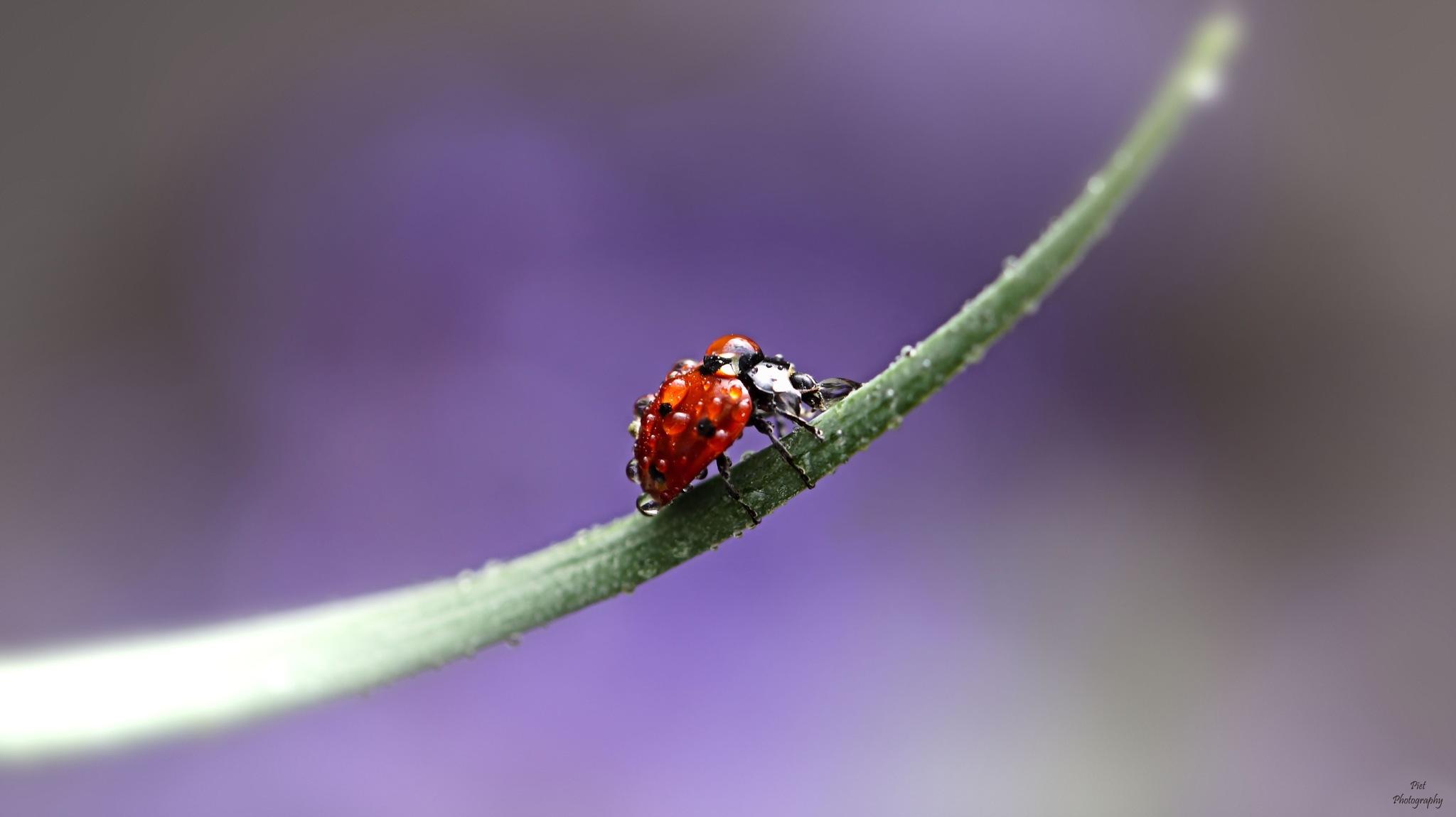 Ladybug After Rain.... by PWaardenburg