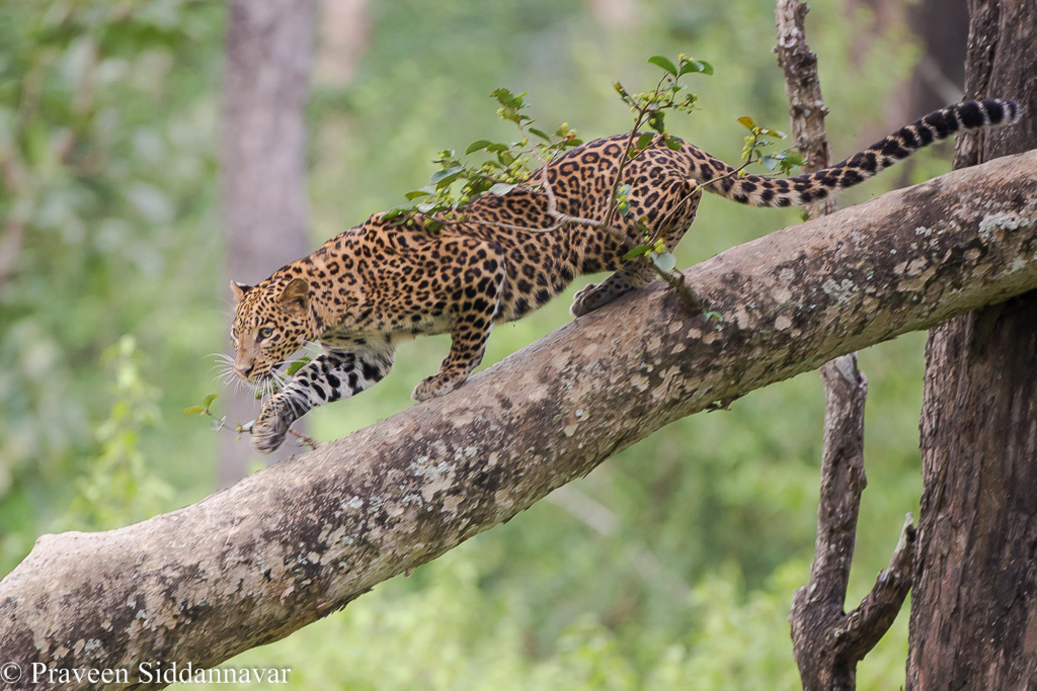 Leopards - Born Climbers!  by Praveen Siddannavar