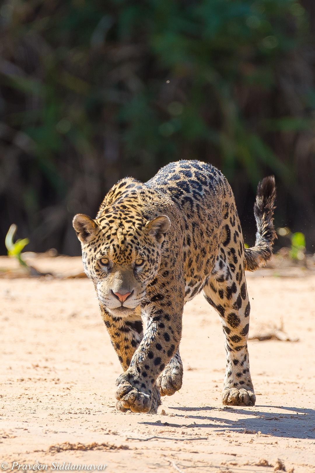 Jaguar Stalking! by Praveen Siddannavar