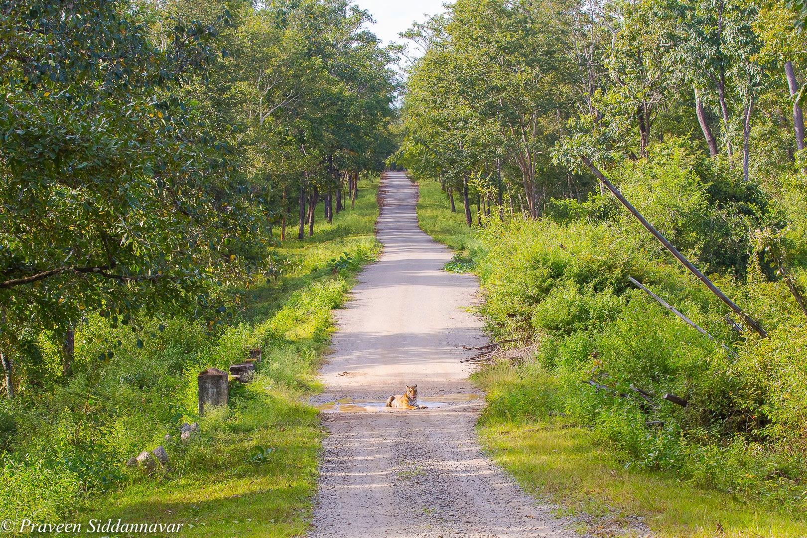 Tigress! by Praveen Siddannavar