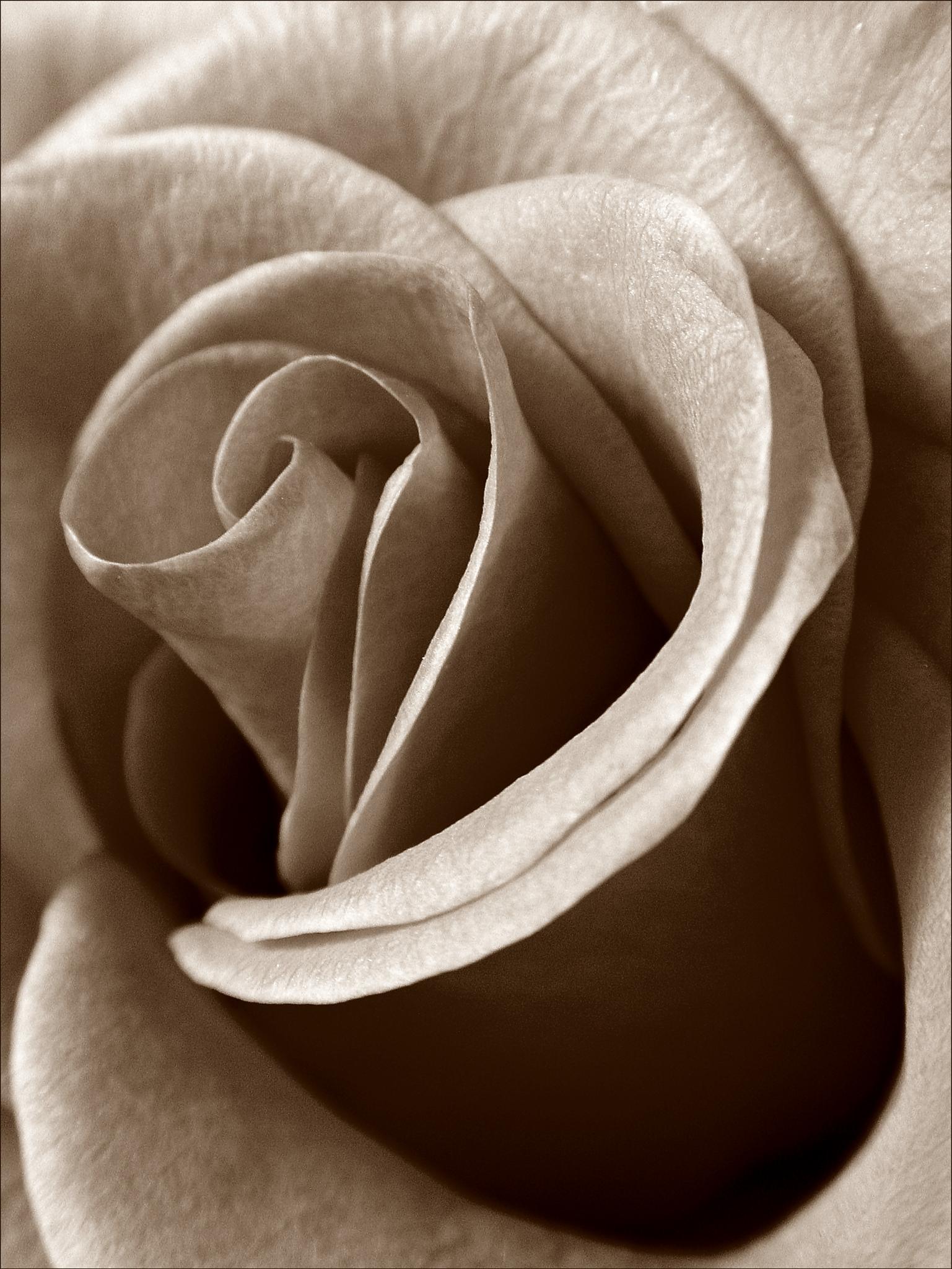 Rose by riablack
