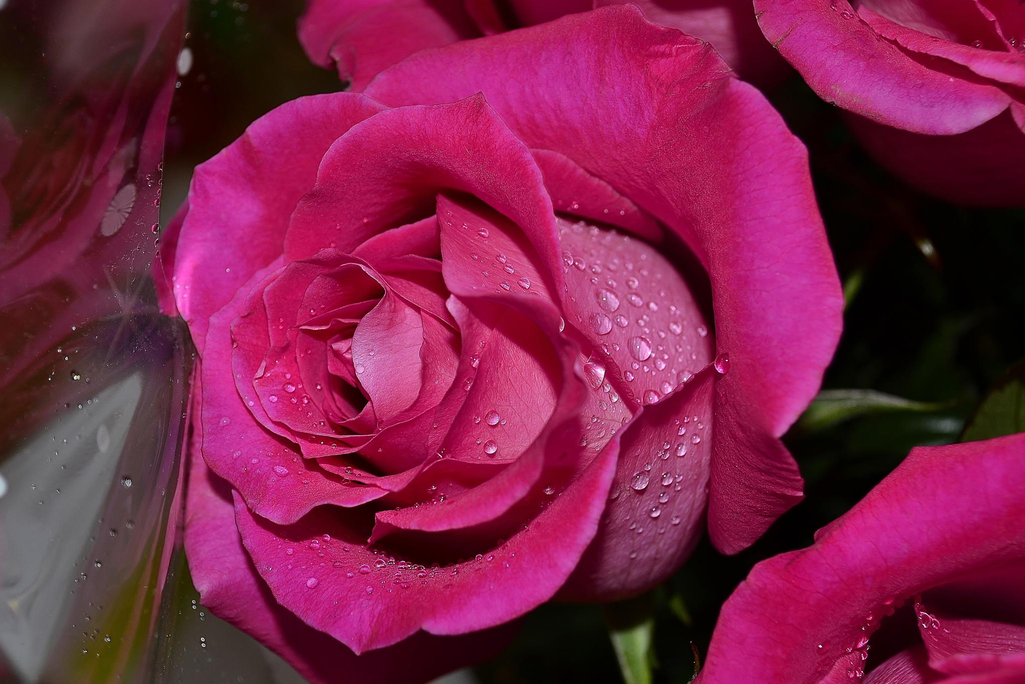 Rose by Anastasiya Tarasova