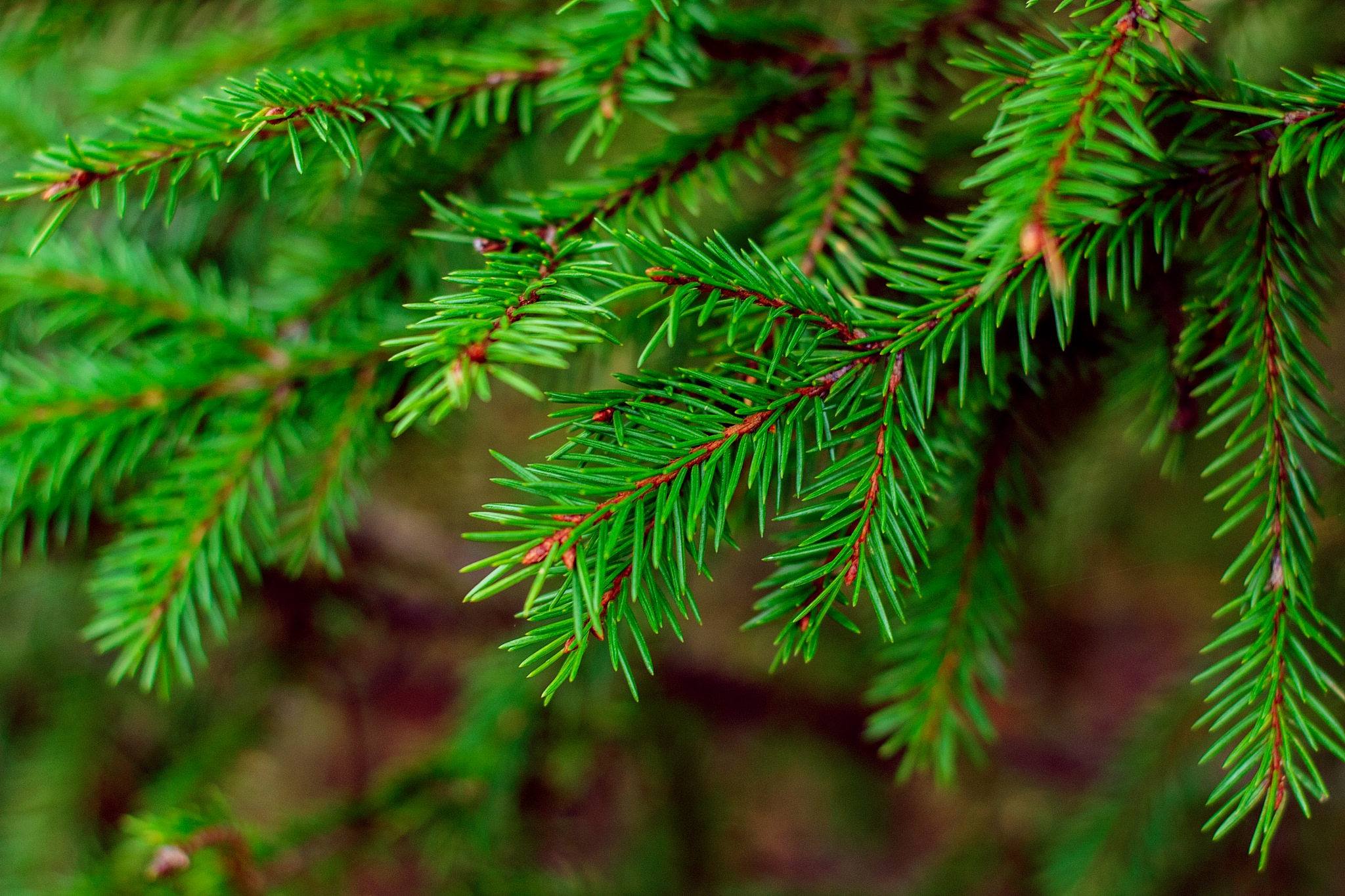 Spruce by Anastasiya Tarasova