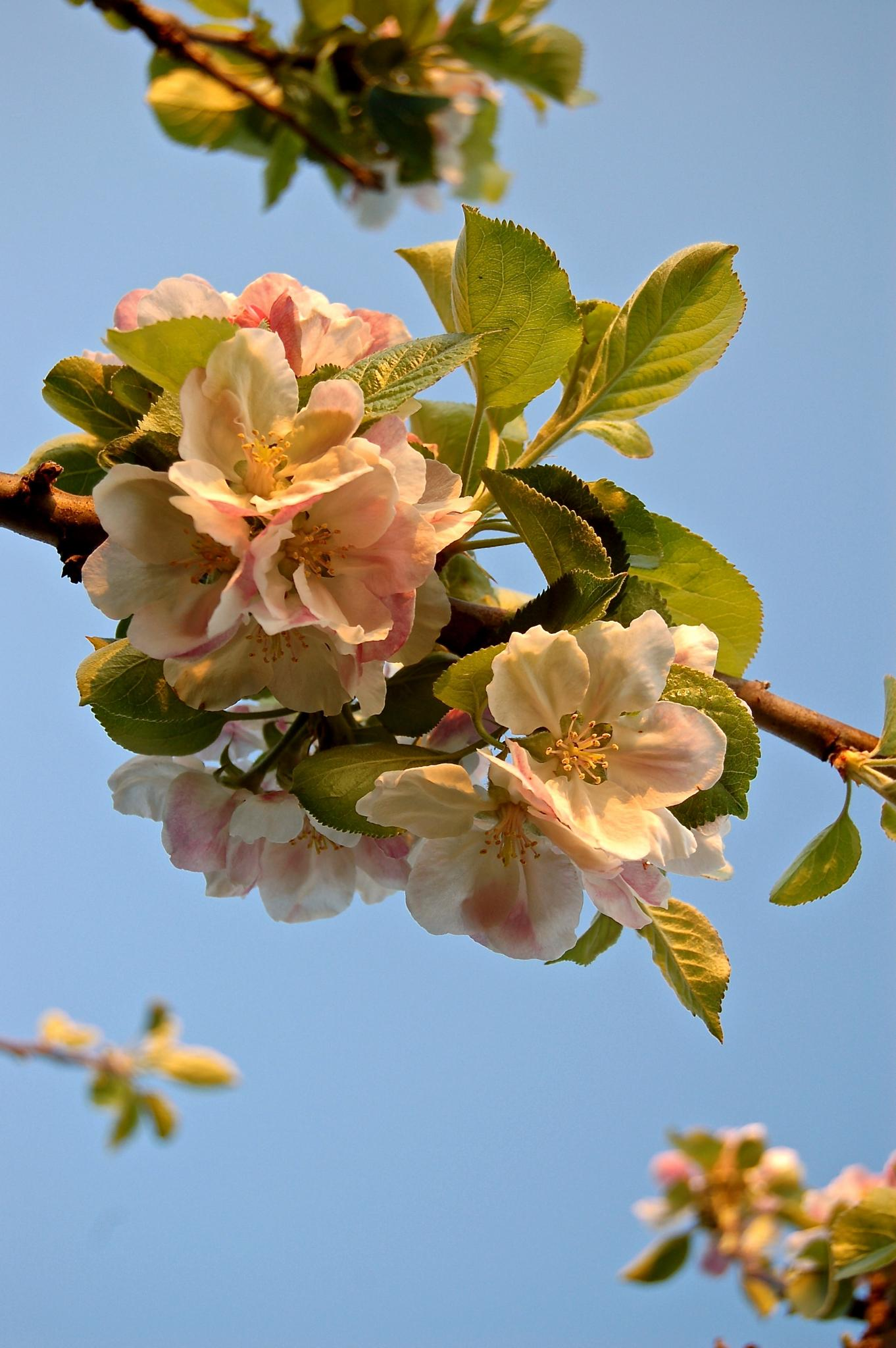 aPPLe BLoSSoM by aLDouS aNGSTeiN
