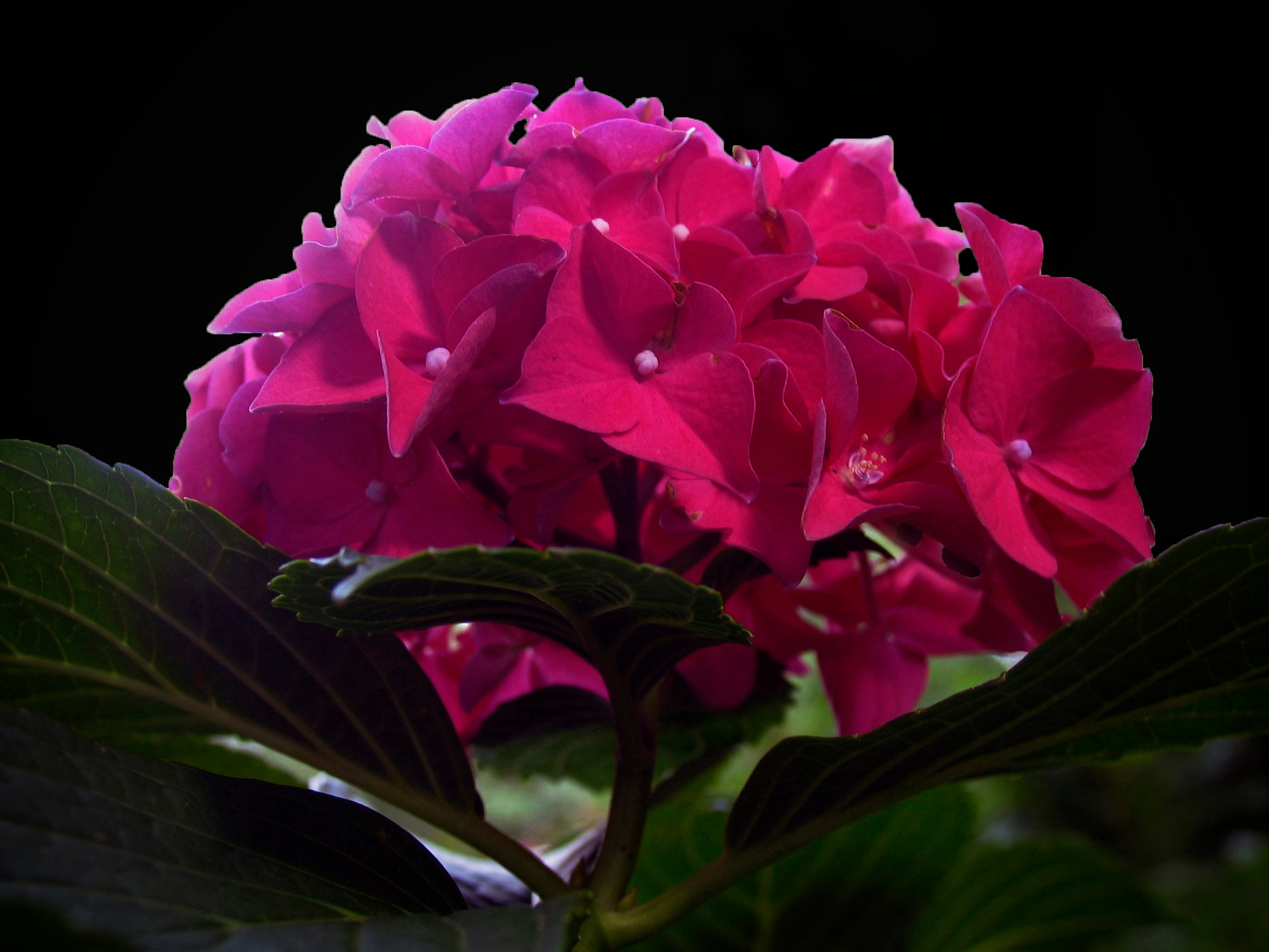 Happy Hydrangea  by monarch
