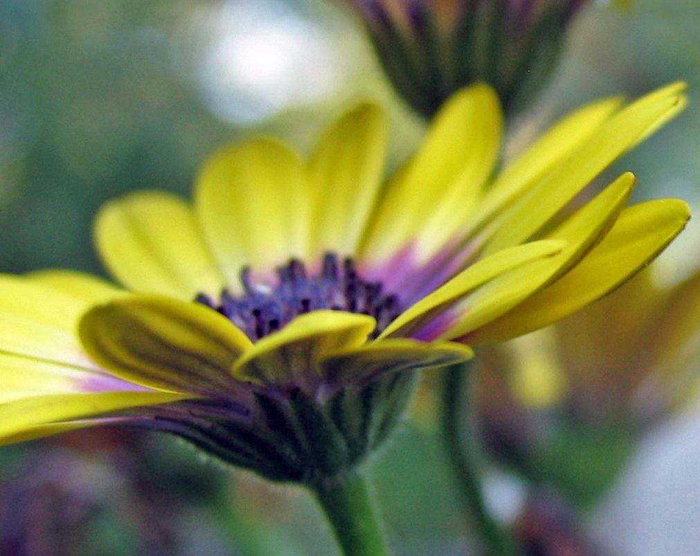 Osteospermum 2 by monarch