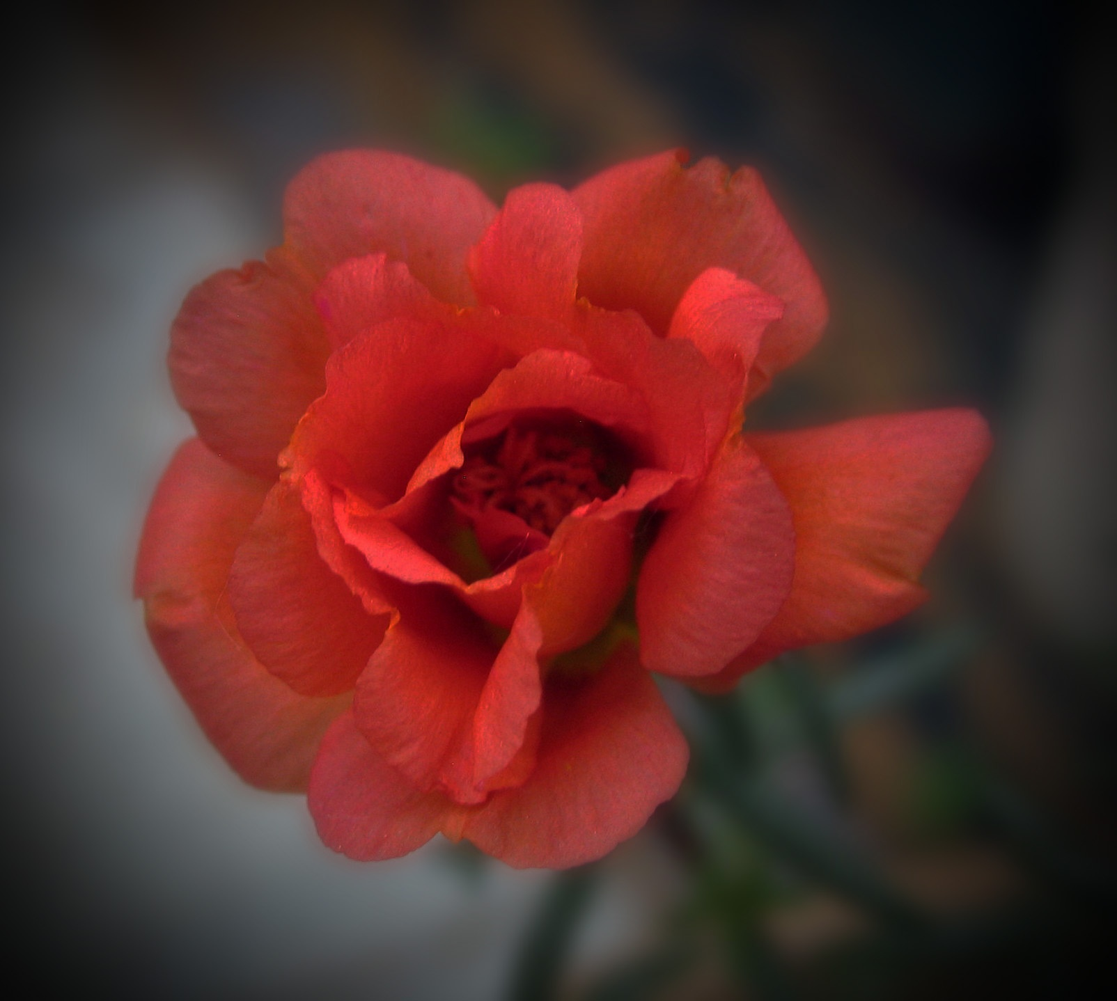 Rose Moss 2 by monarch