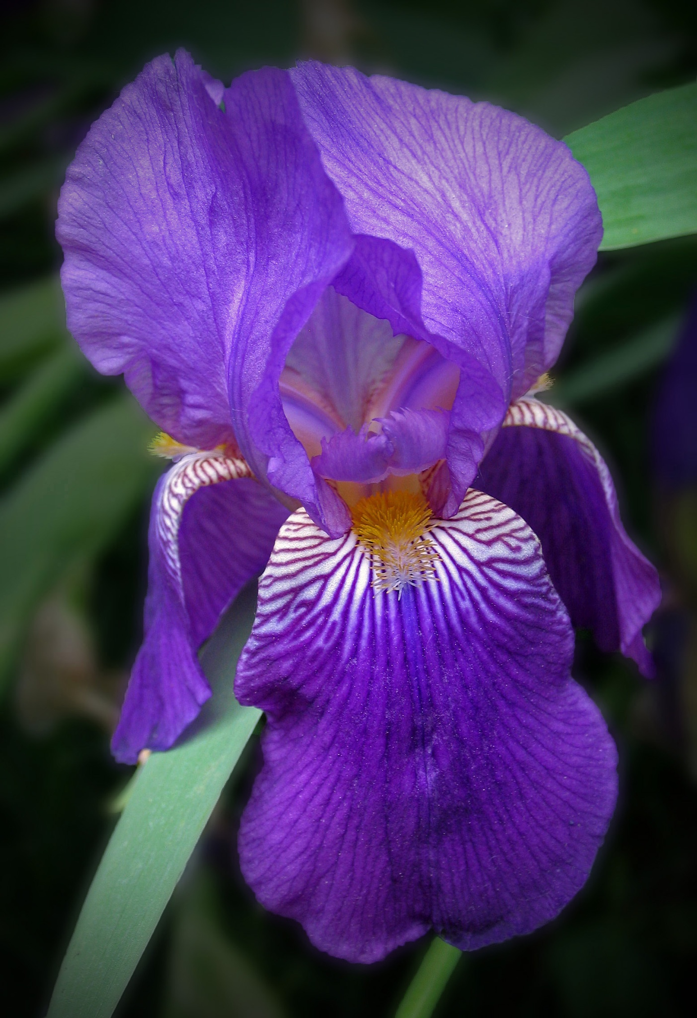 Photo in Macro #macro #iris #purple #nature #garden #monarch #canon powershot pro1