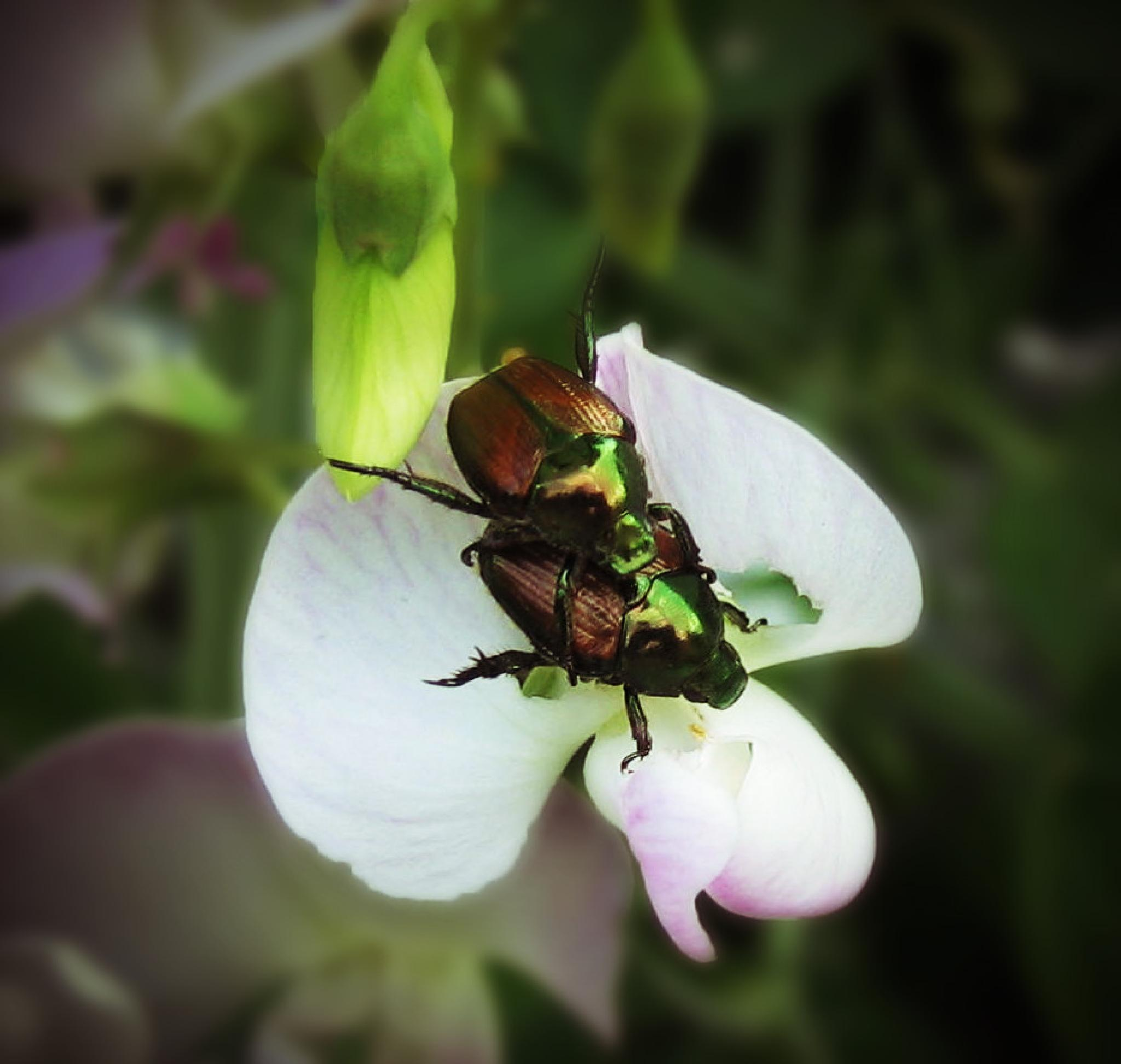 Mating Japanese Beetles by monarch