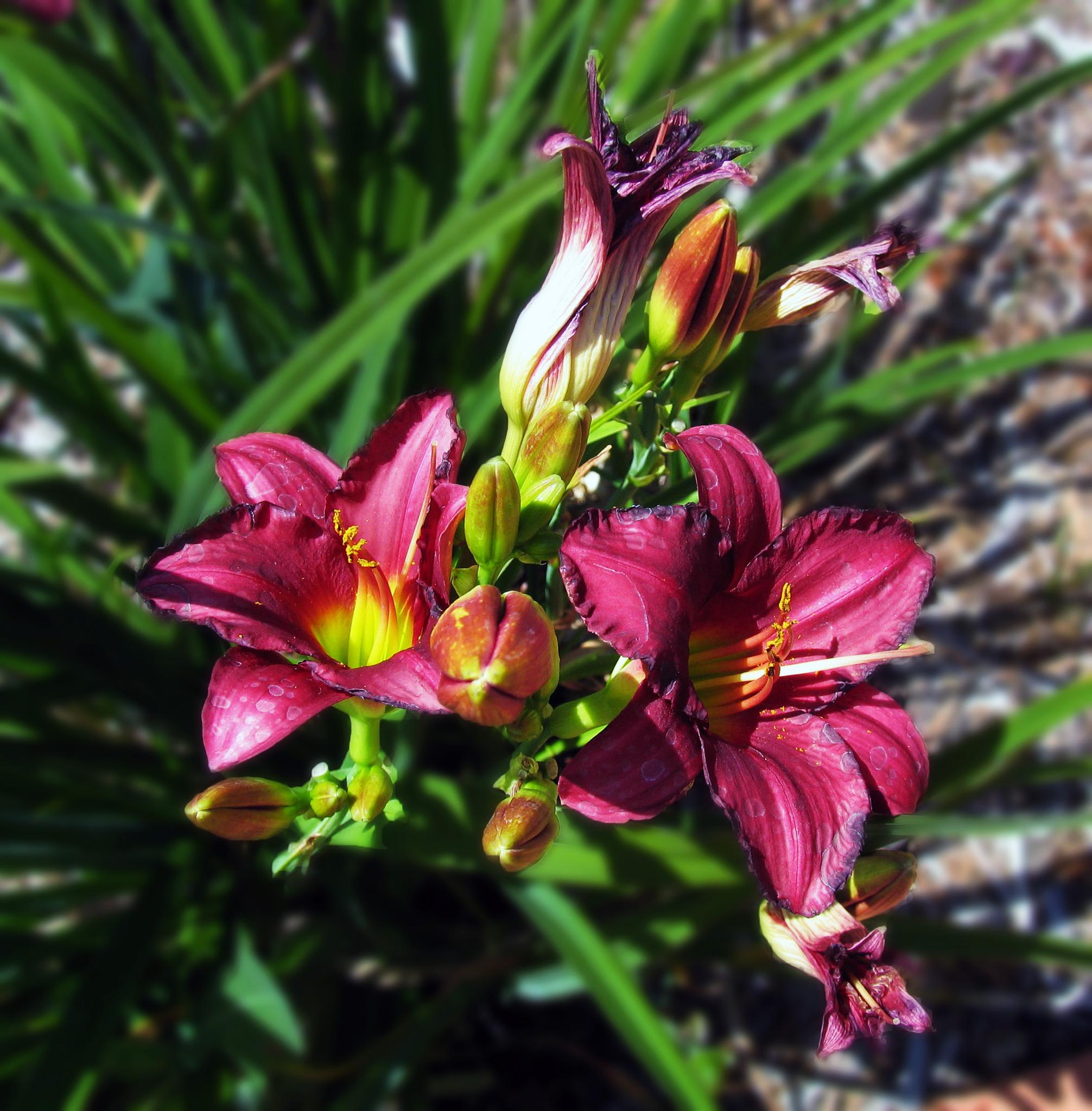 Delightful Day Lilies by monarch
