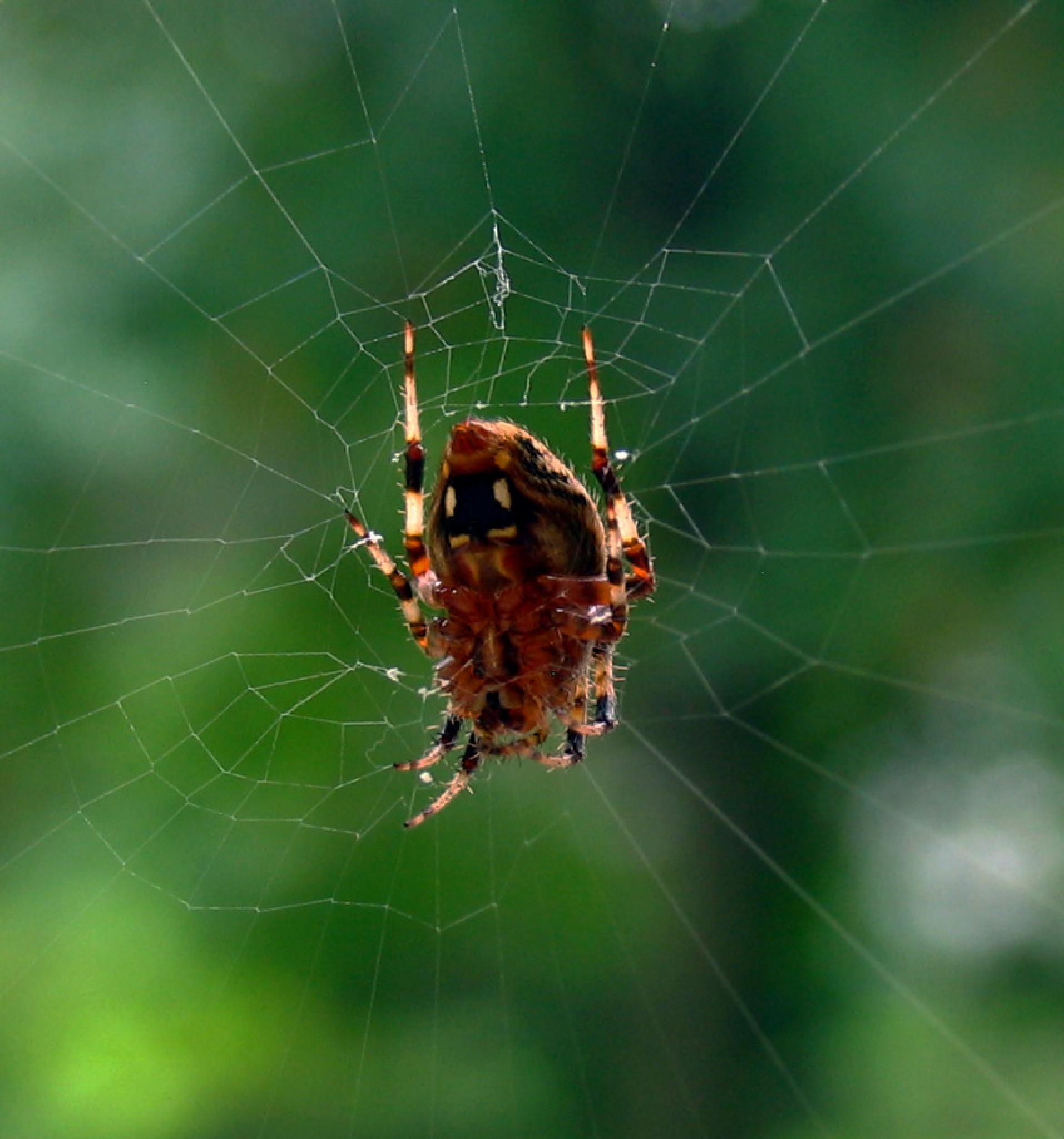 Spider and web by monarch