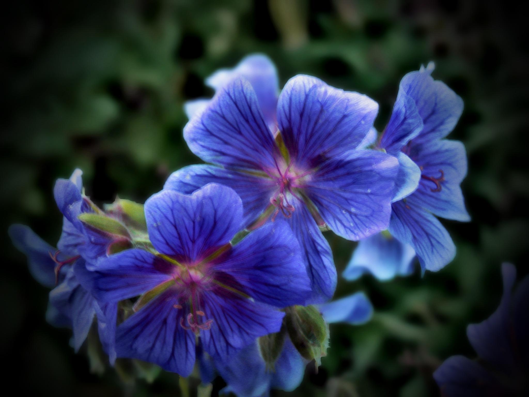 Geranium Blooms by monarch
