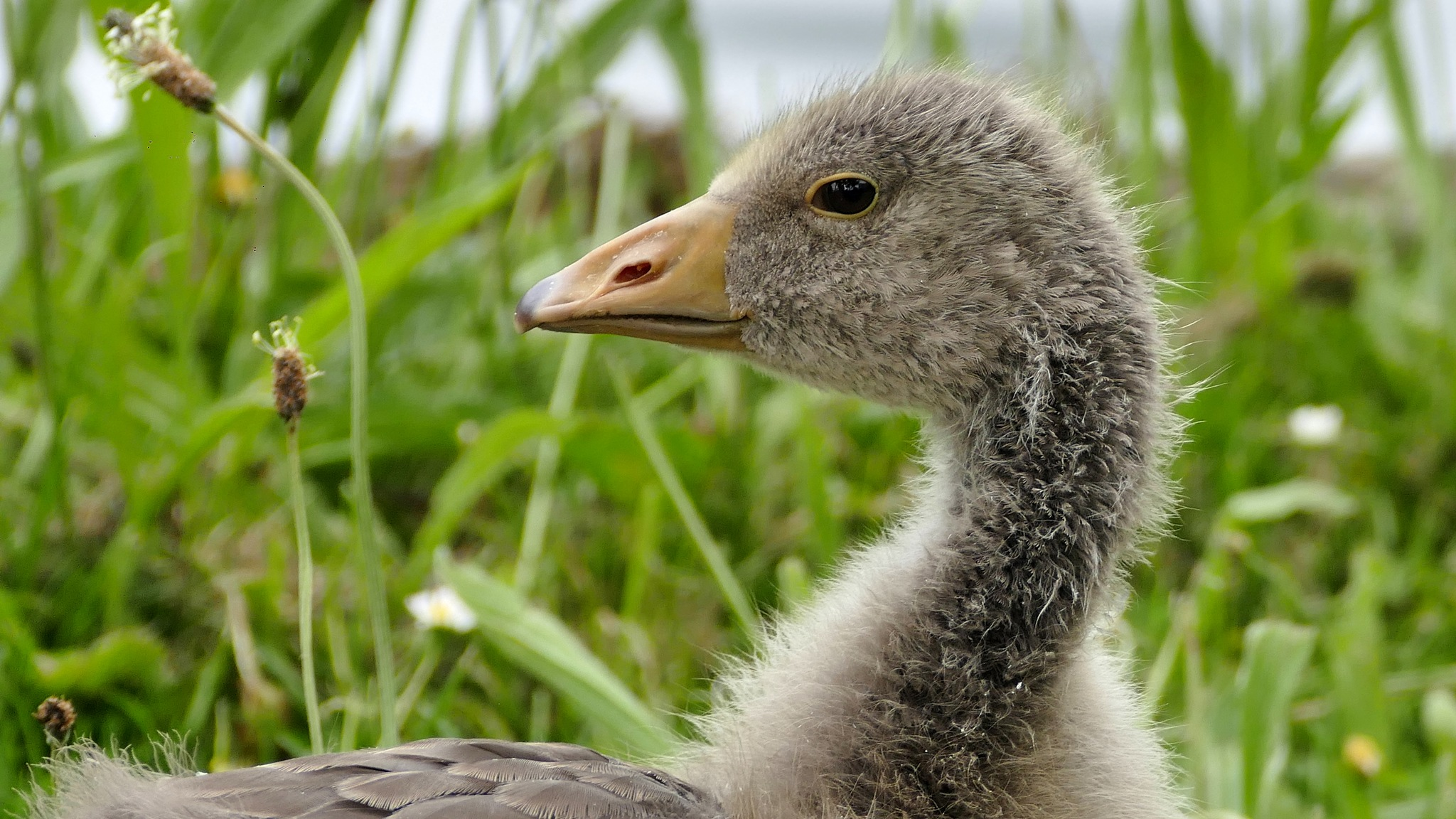 Young Greylag Goose by Peter Suggitt