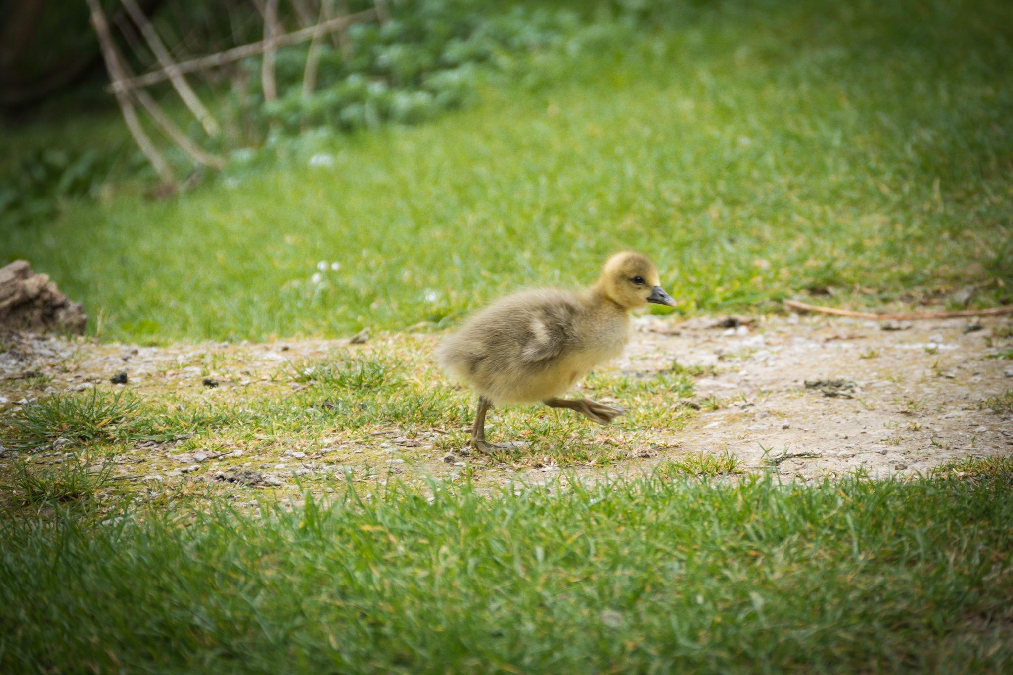 Gosling Runaway by Peter Suggitt