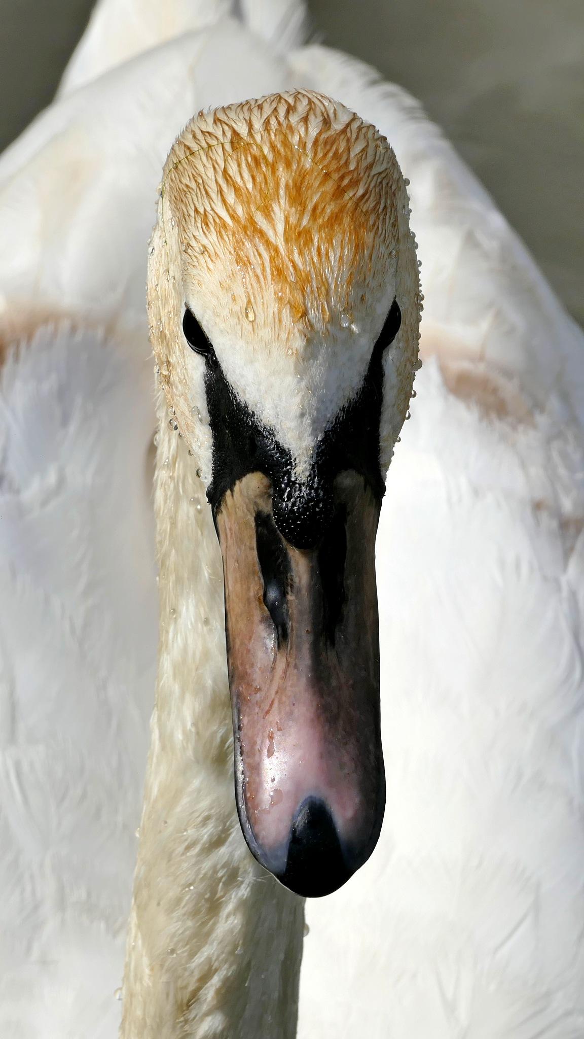 Ginger Swan by Peter Suggitt