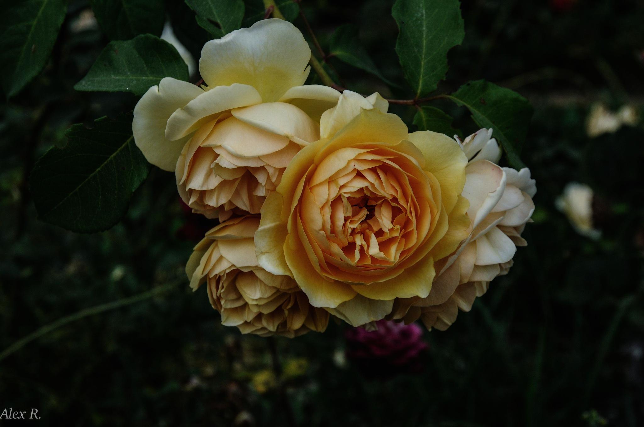 roses by Alex Rocio