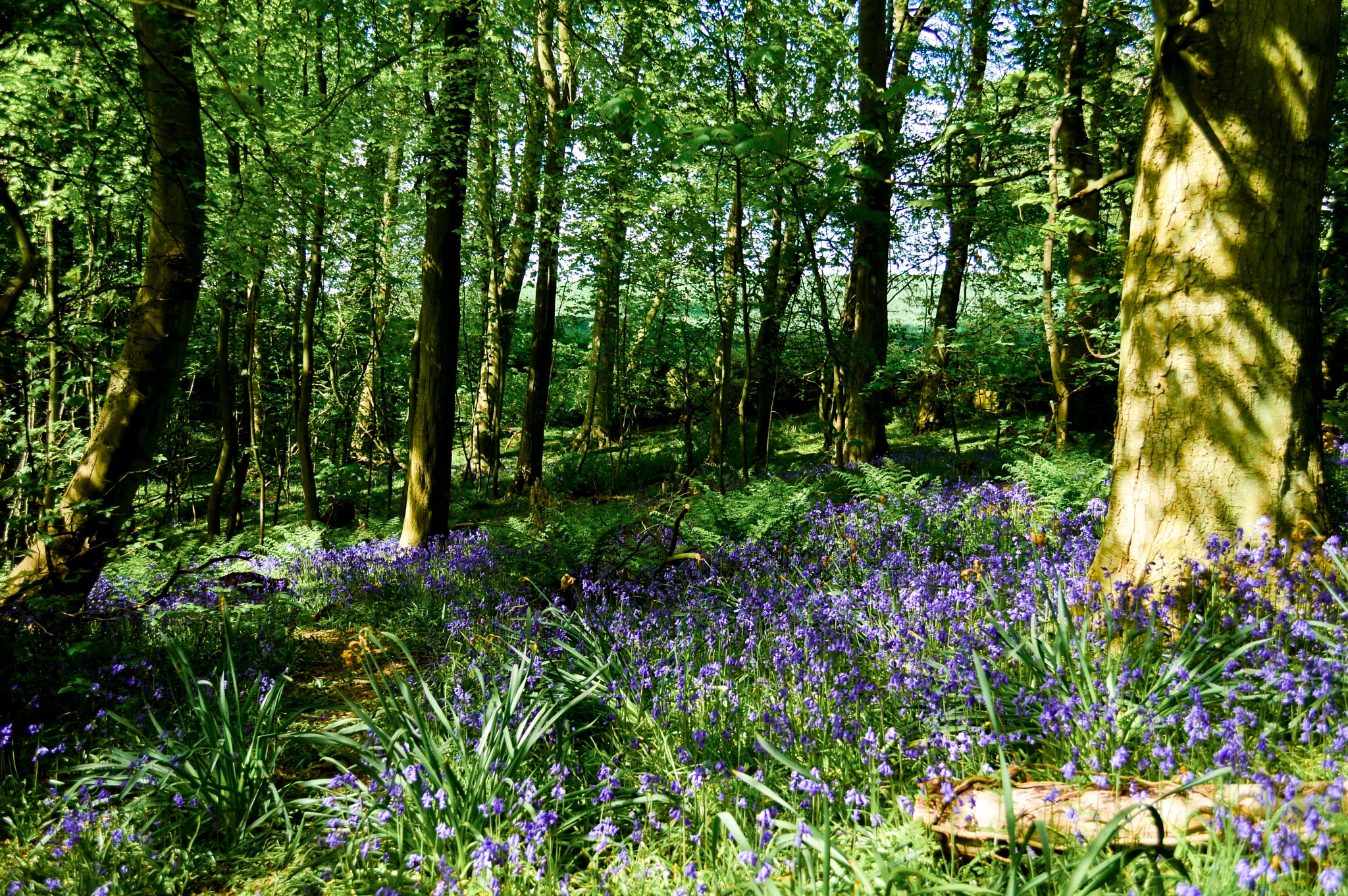 Photo in Nature #bluebells #wood #nature #flowers