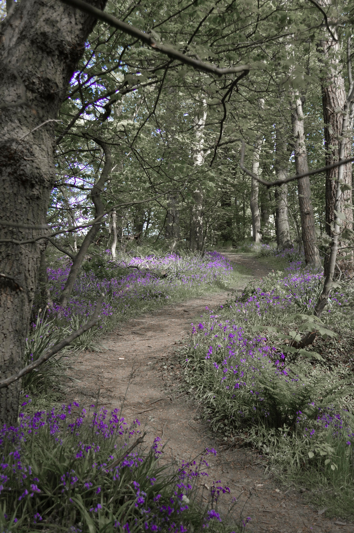 Photo in Nature #bluebells #wood #plants #nature