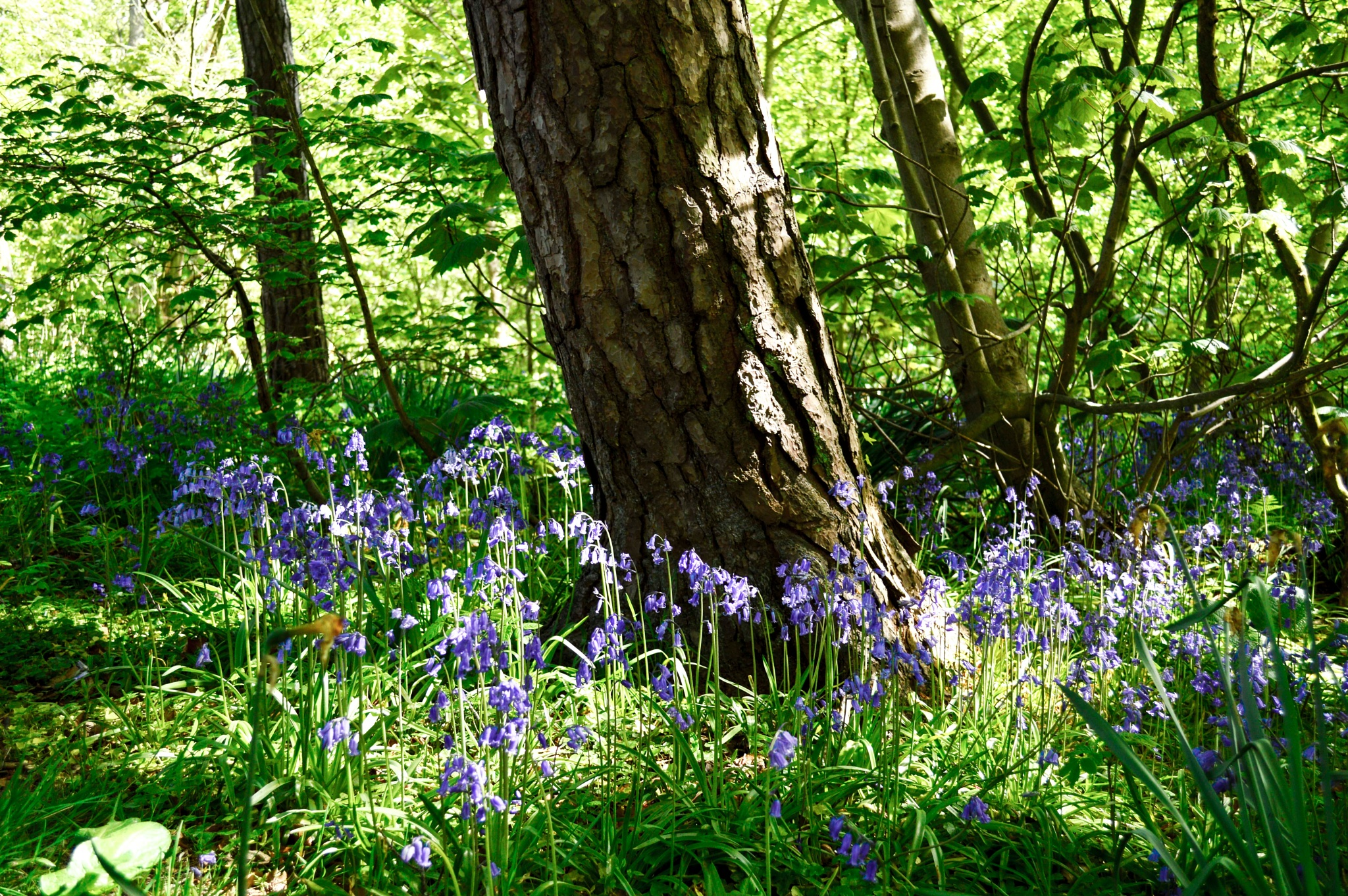 Photo in Nature #bluebells #wood #flowers