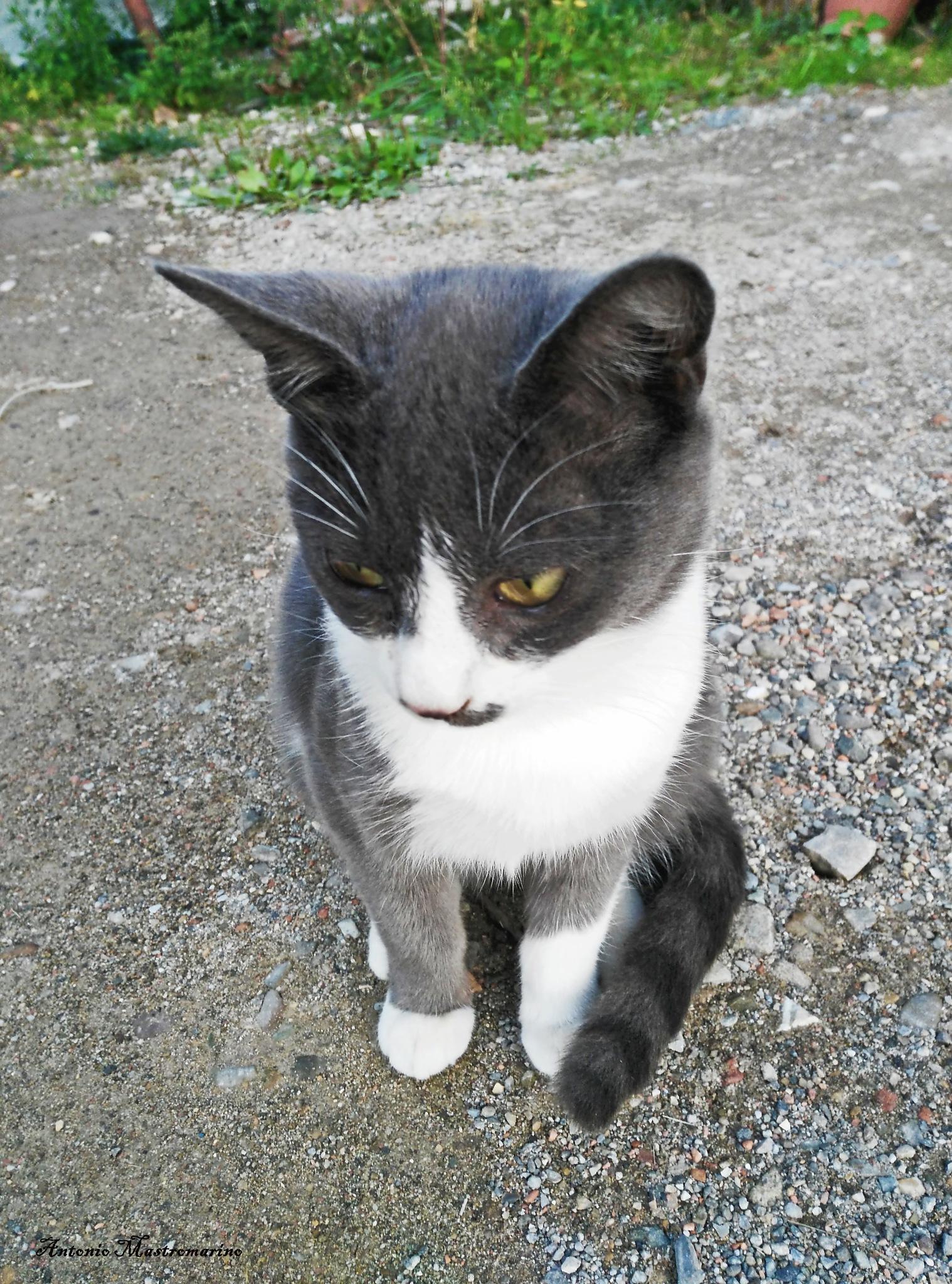 gatto by antonio mastromarino