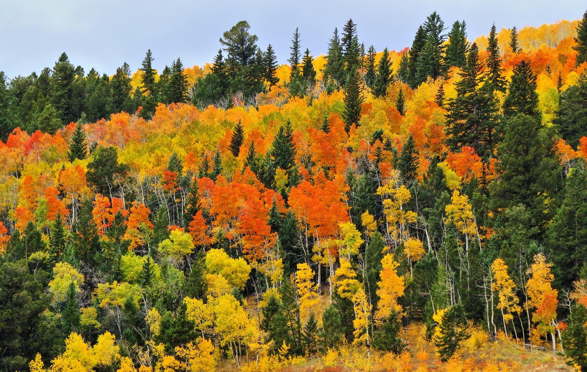 Aspen trees - Colorado - 9-22-16 by SaraSnow