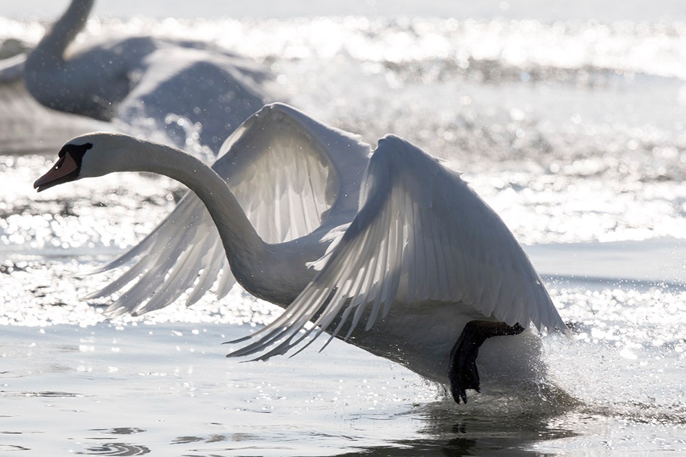 swan by denis.keith