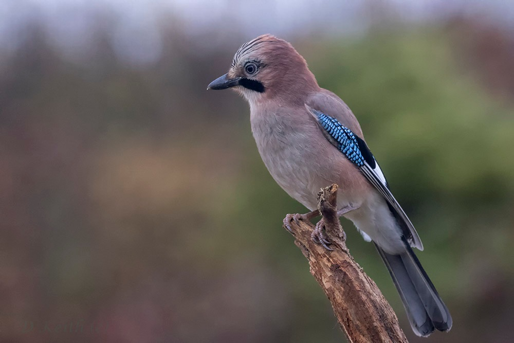 Jay by denis.keith