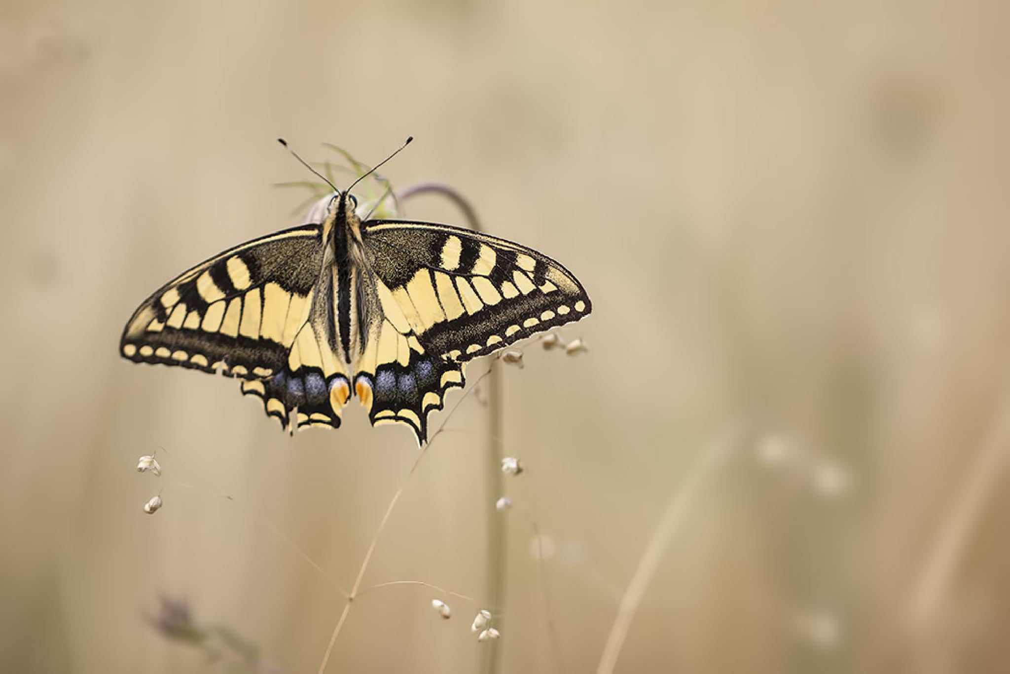 swallow-tail by denis.keith