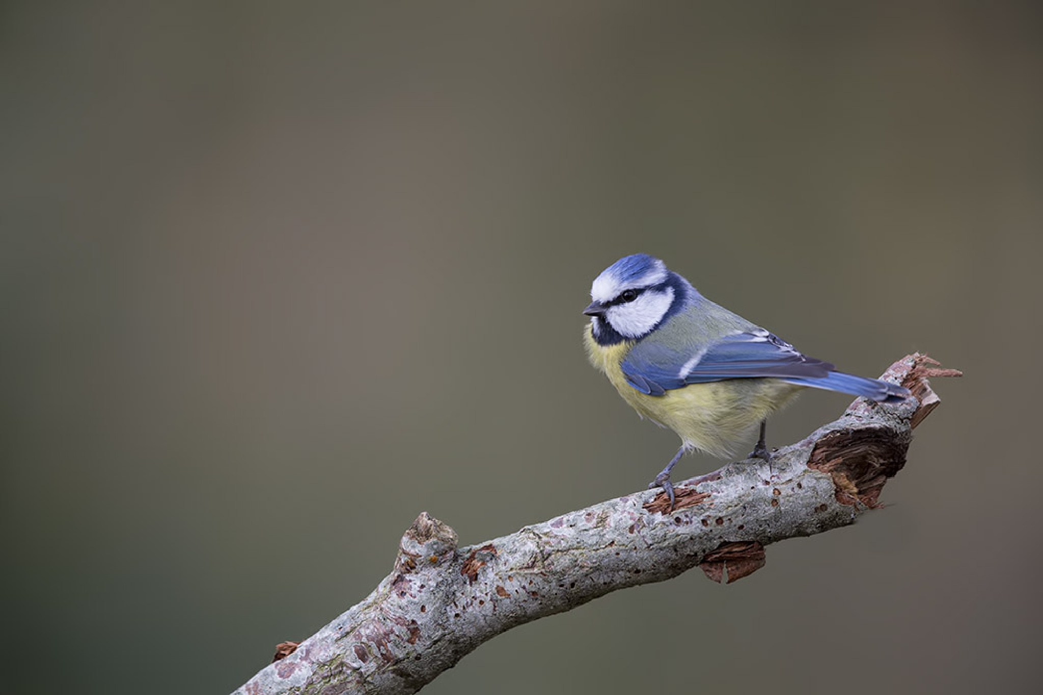 Lil' blue by denis.keith