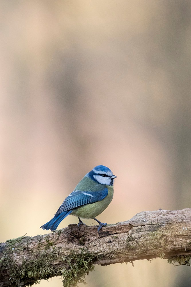 Blue Tit by denis.keith