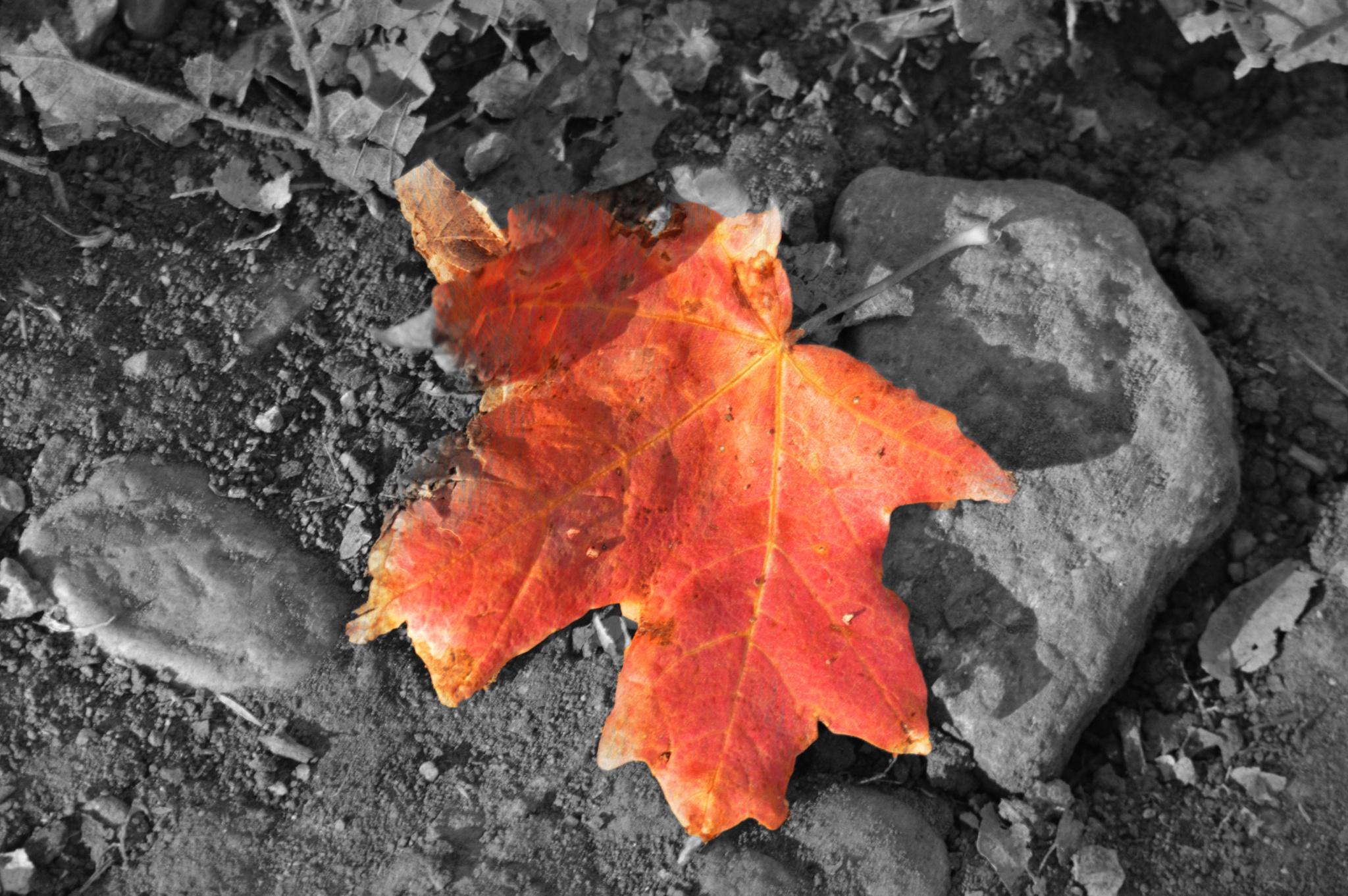 single autumn leaf by shellee
