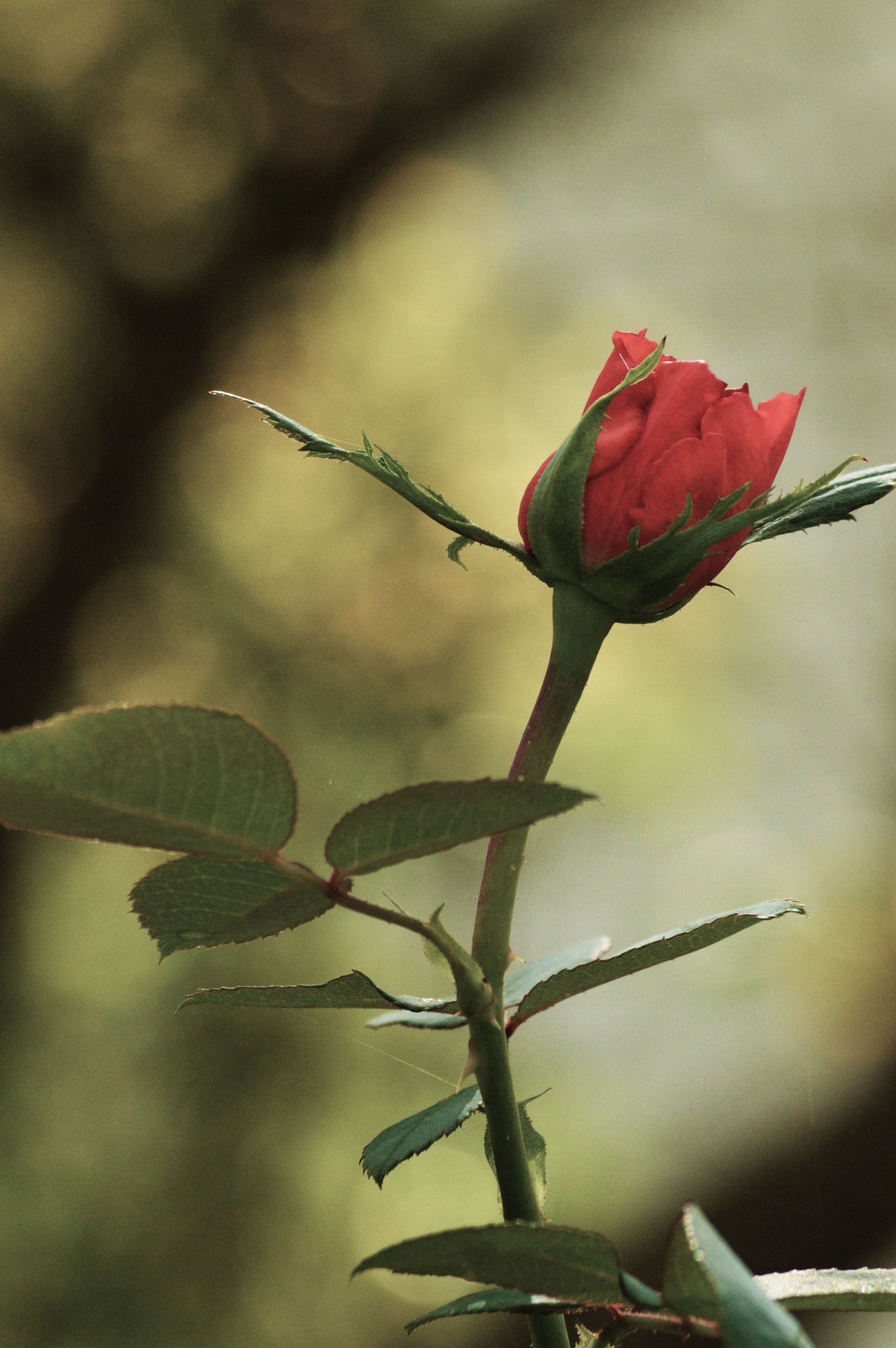 Single rosebud by shellee