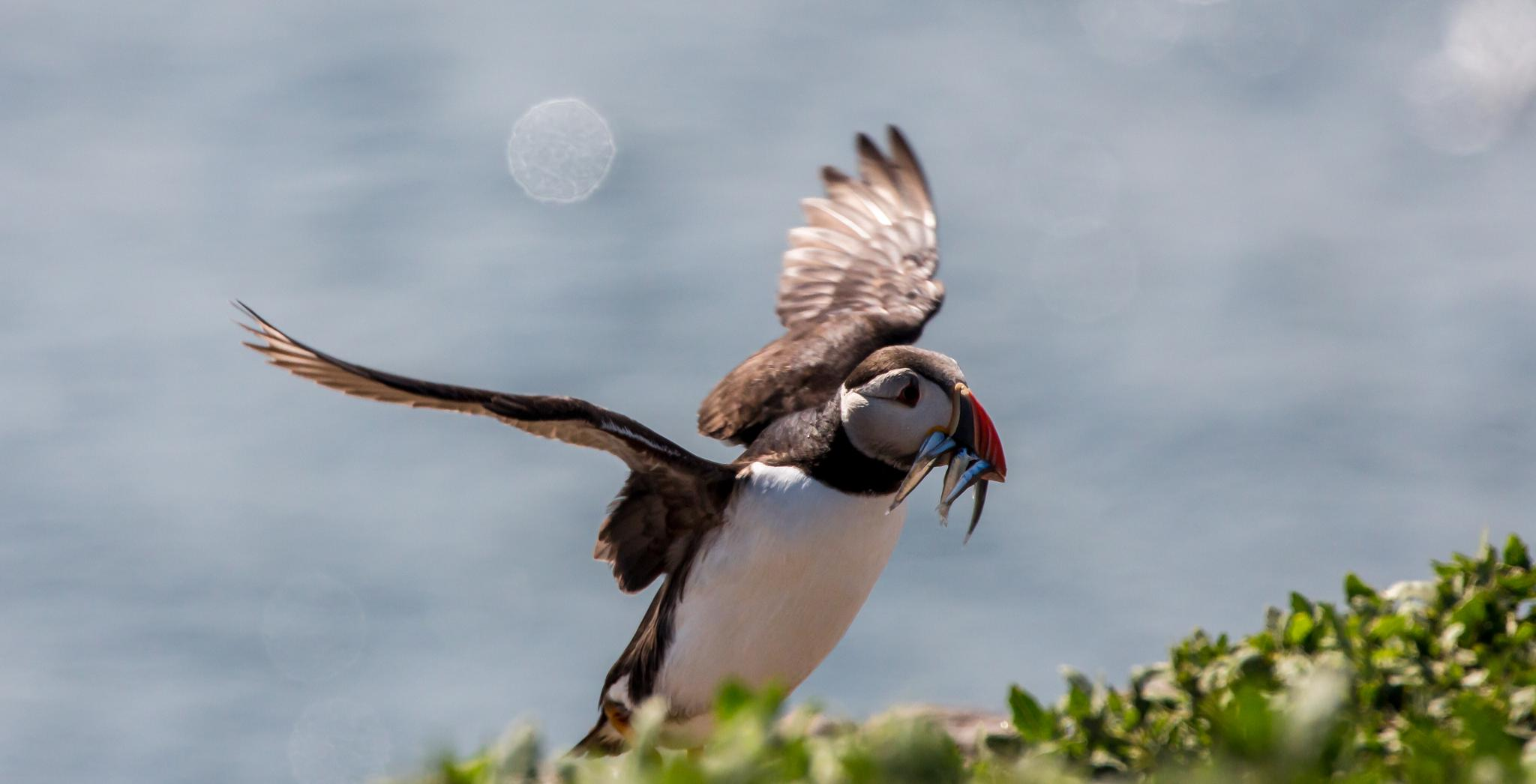 Puffin by Mole59