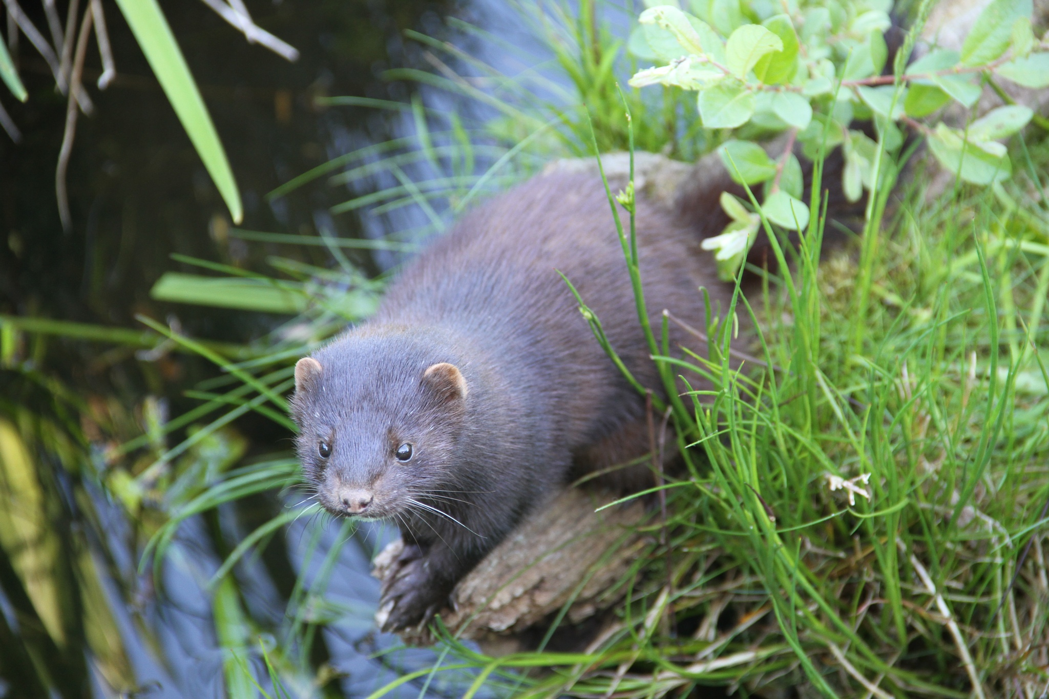 American Mink at the British Wildlife Centre by Andy Gregory Photography
