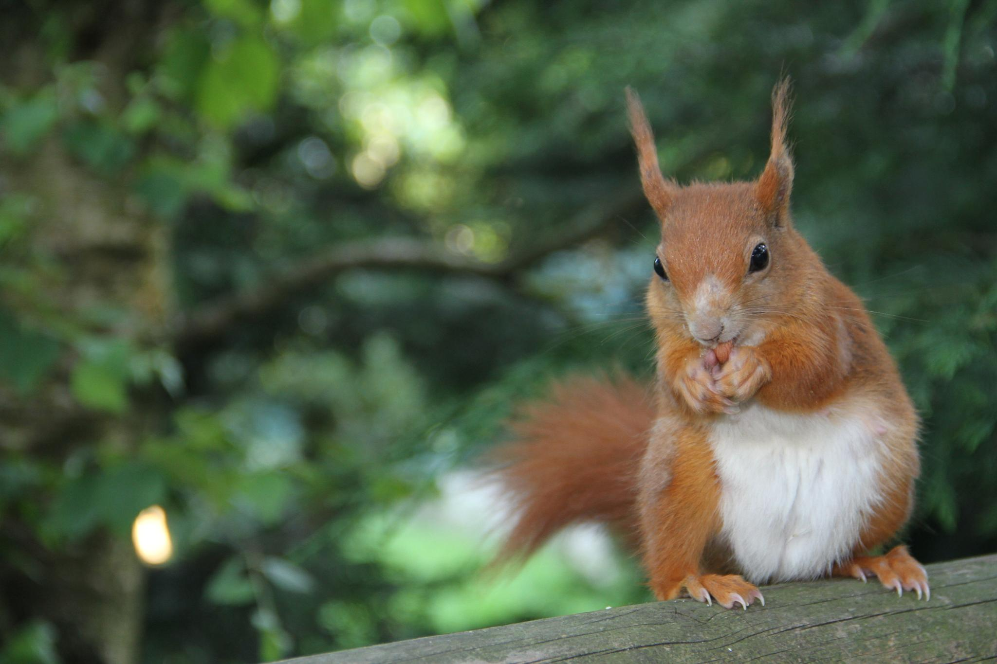 Evening meal for a Red Squirrel by Andy Gregory Photography