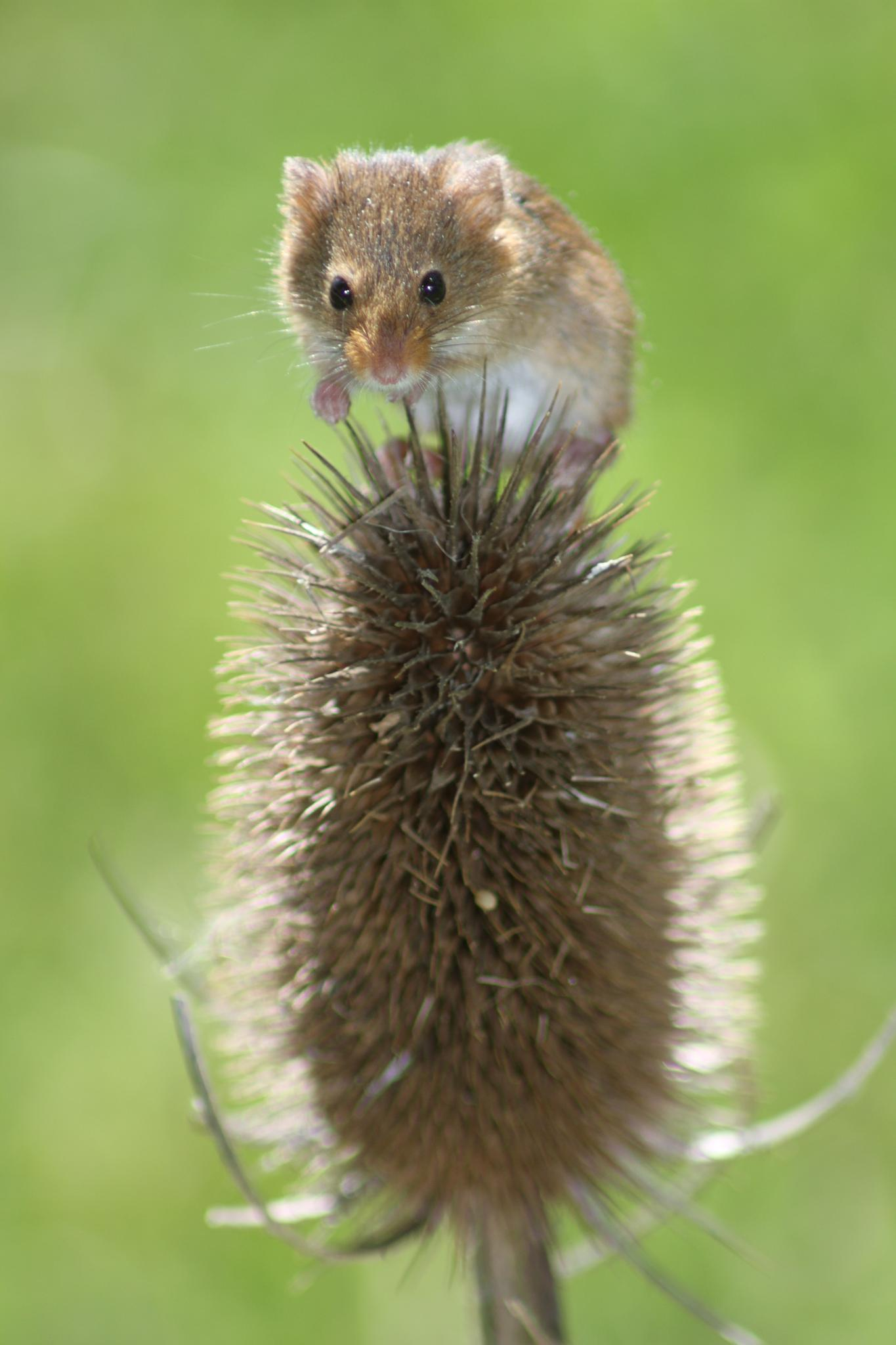 Harvest Mouse by Andy Gregory Photography