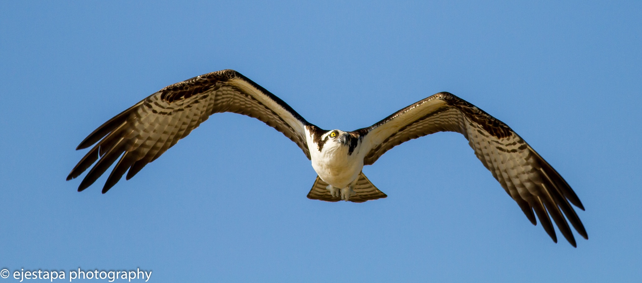 Osprey in flight by ejestapa