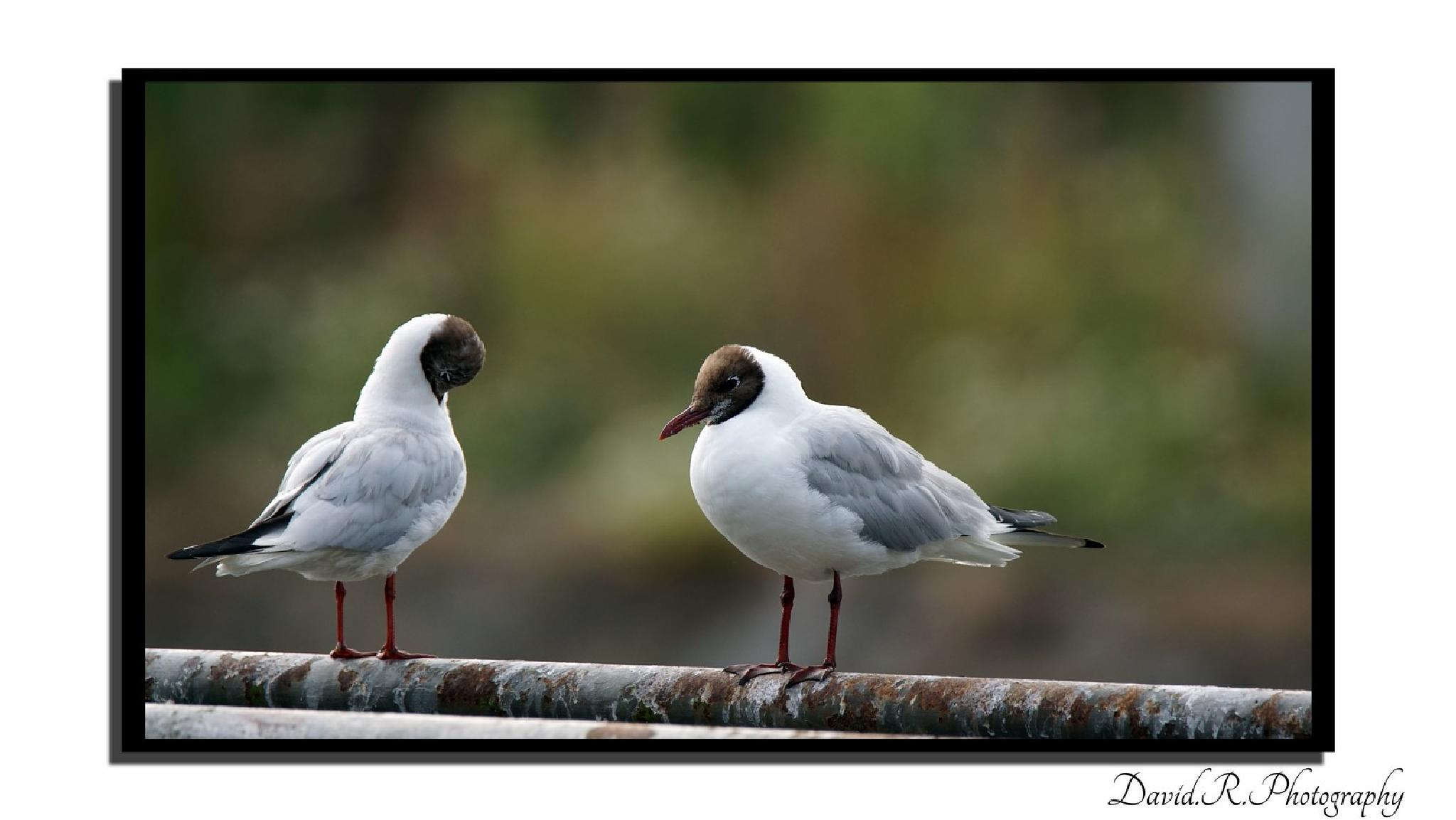 Duo mouettes by David.R.Photography